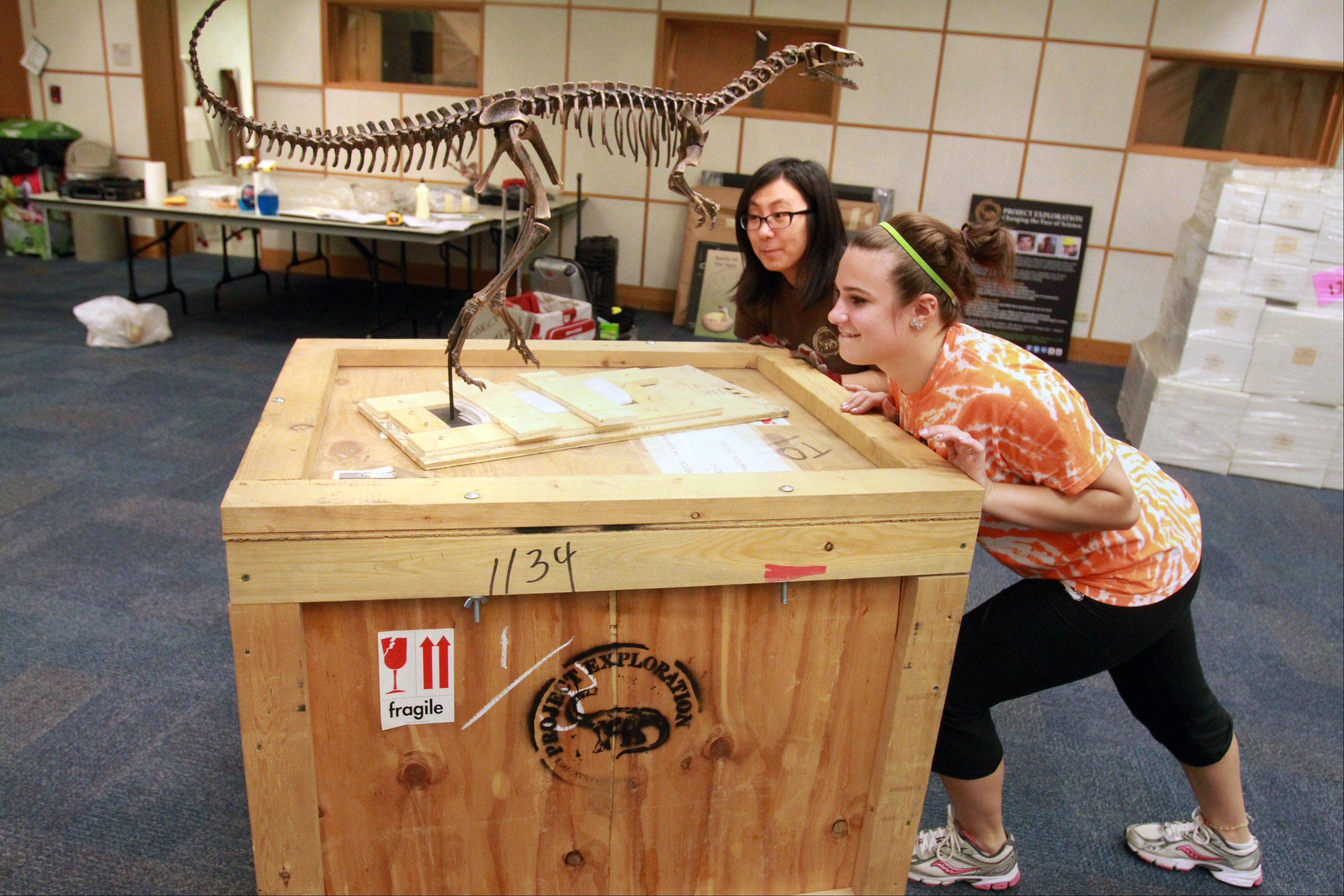 May Her, background, and Volunteer Elizabeth Curley, 16, of Arlington Heights, move a crate with a replica skeleton of an Eorapotor.