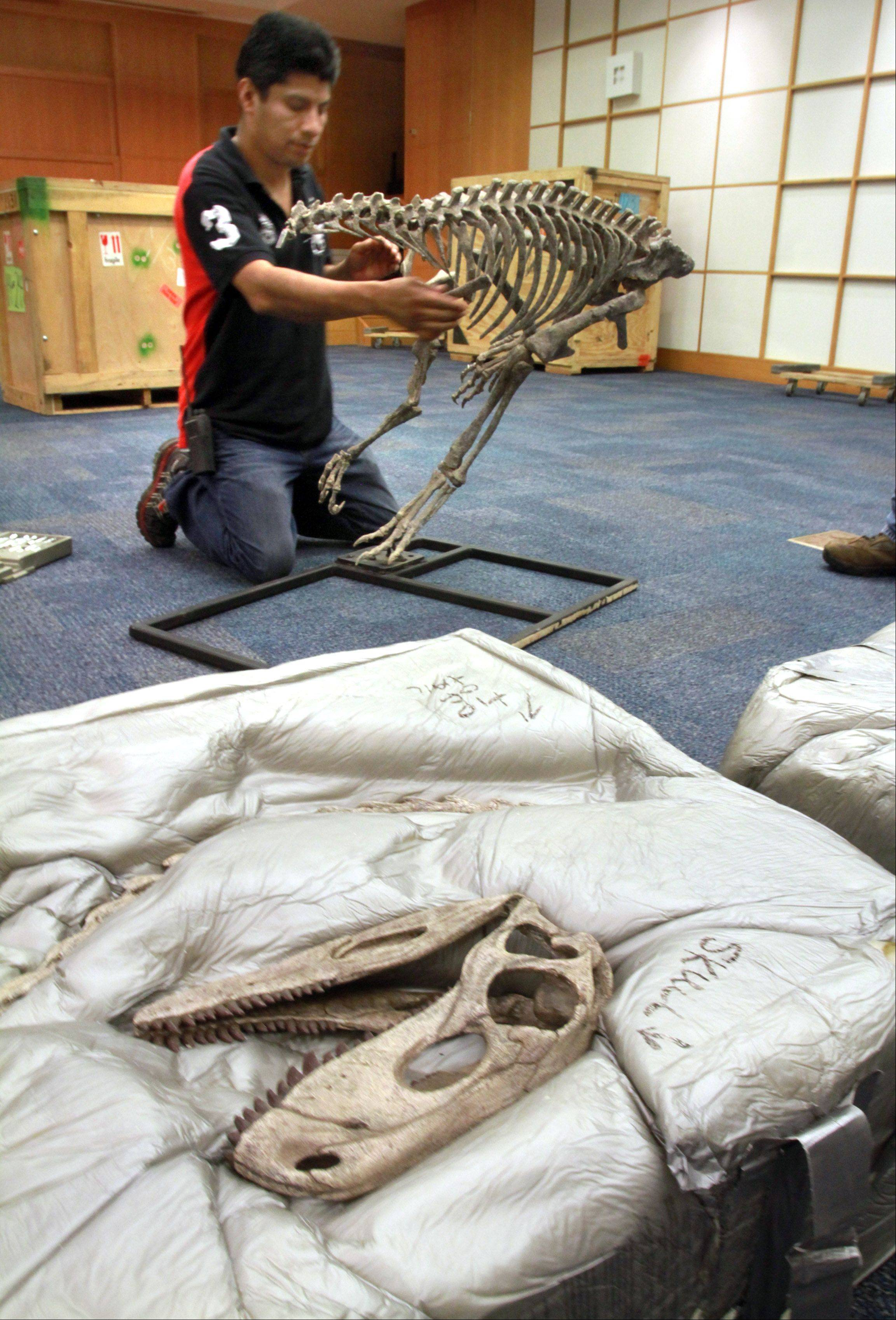 "Gabe Sanchez with the Arlington Heights Library assembles a replica Herrerasaurus for the exhibit ""Origins, The Dawn of Dinosaurs."""