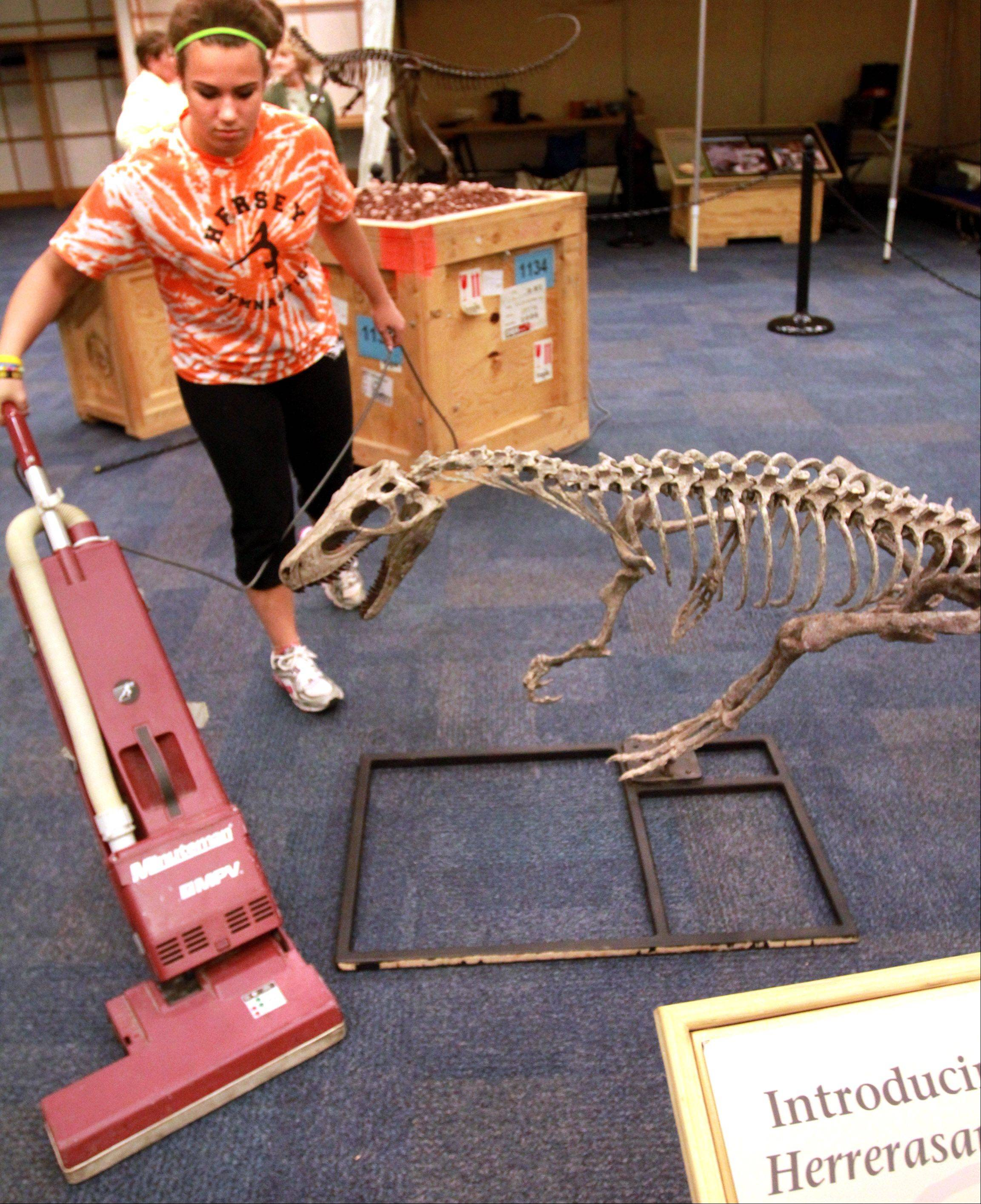 Volunteer Elizabeth Curley, 16, of Arlington Heights, vacuums around a replica Herrerasaurus skeleton.