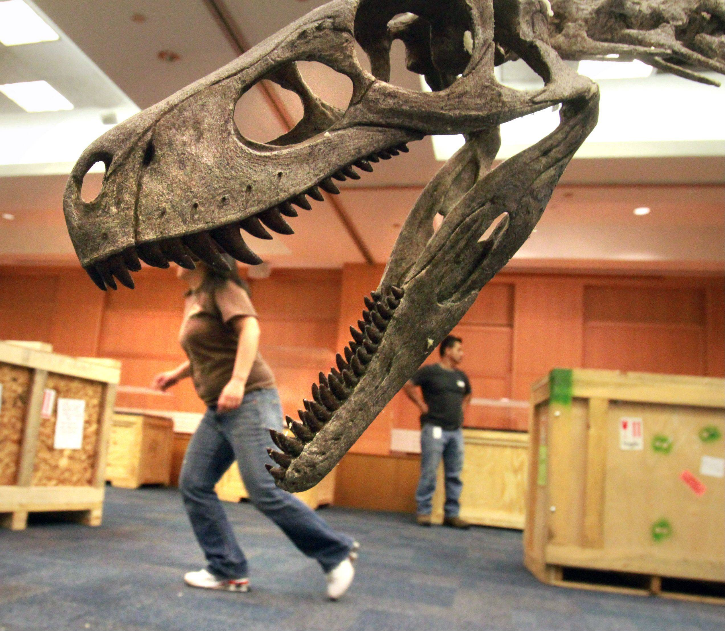 May Her runs to get tools to unpack a second crate, in front of a replica Herrerasaurus.