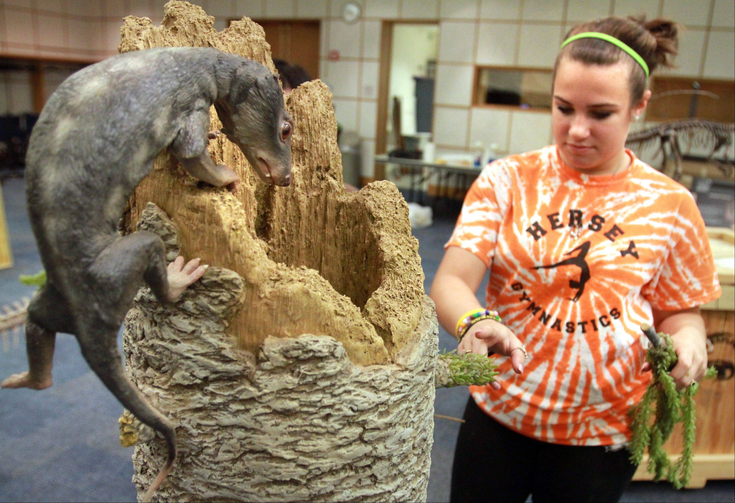Volunteer Elizabeth Curley, 16, of Arlington Heights, places branches on a replica tree housing a small mammal-like reptile, Probelesdon, for the exhibit.