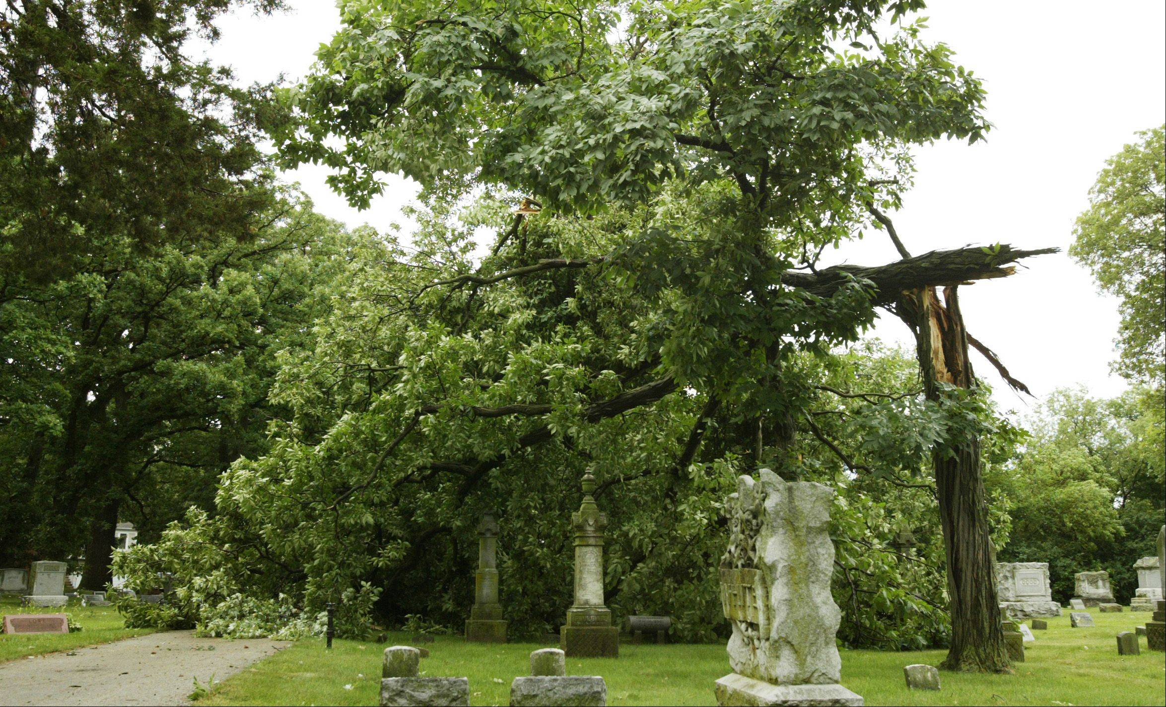 A massive tree was toppled in the Village of Algonquin Cemetery Monday morning after a line of thunderstorms hit the Fox Valley.