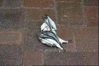Storm spawns mysterious fish in driveways