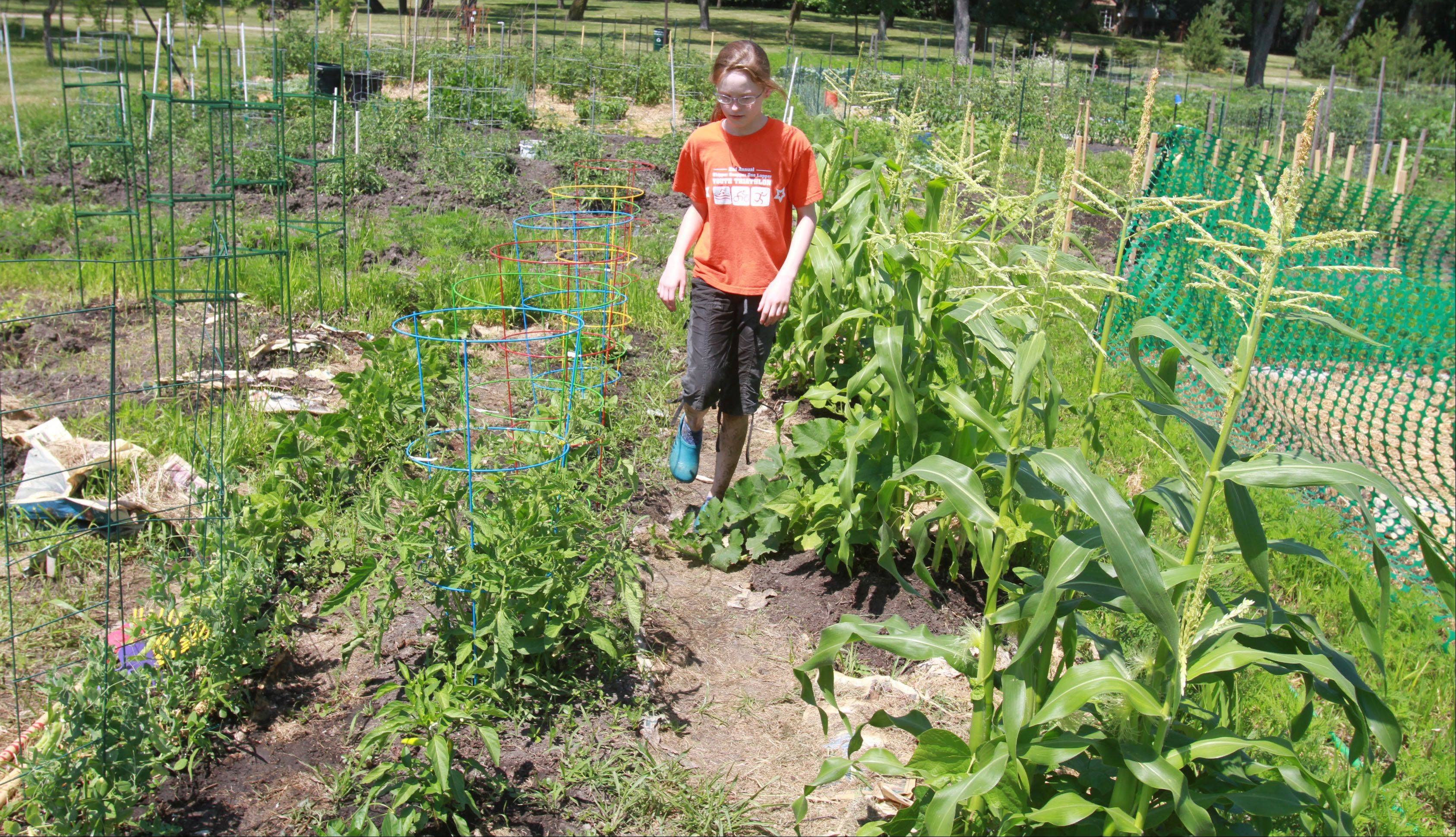 George LeClaire/gleclaire@dailyherald.comVolunteer Mili Meredith, 11, of Arlington Heights walks across the new produce garden plot, created by the Arlington Heights Neighborhood Association, in Frontier Park in Arlington Heights. The produce is donated to the Wheeling Township Food Pantry.