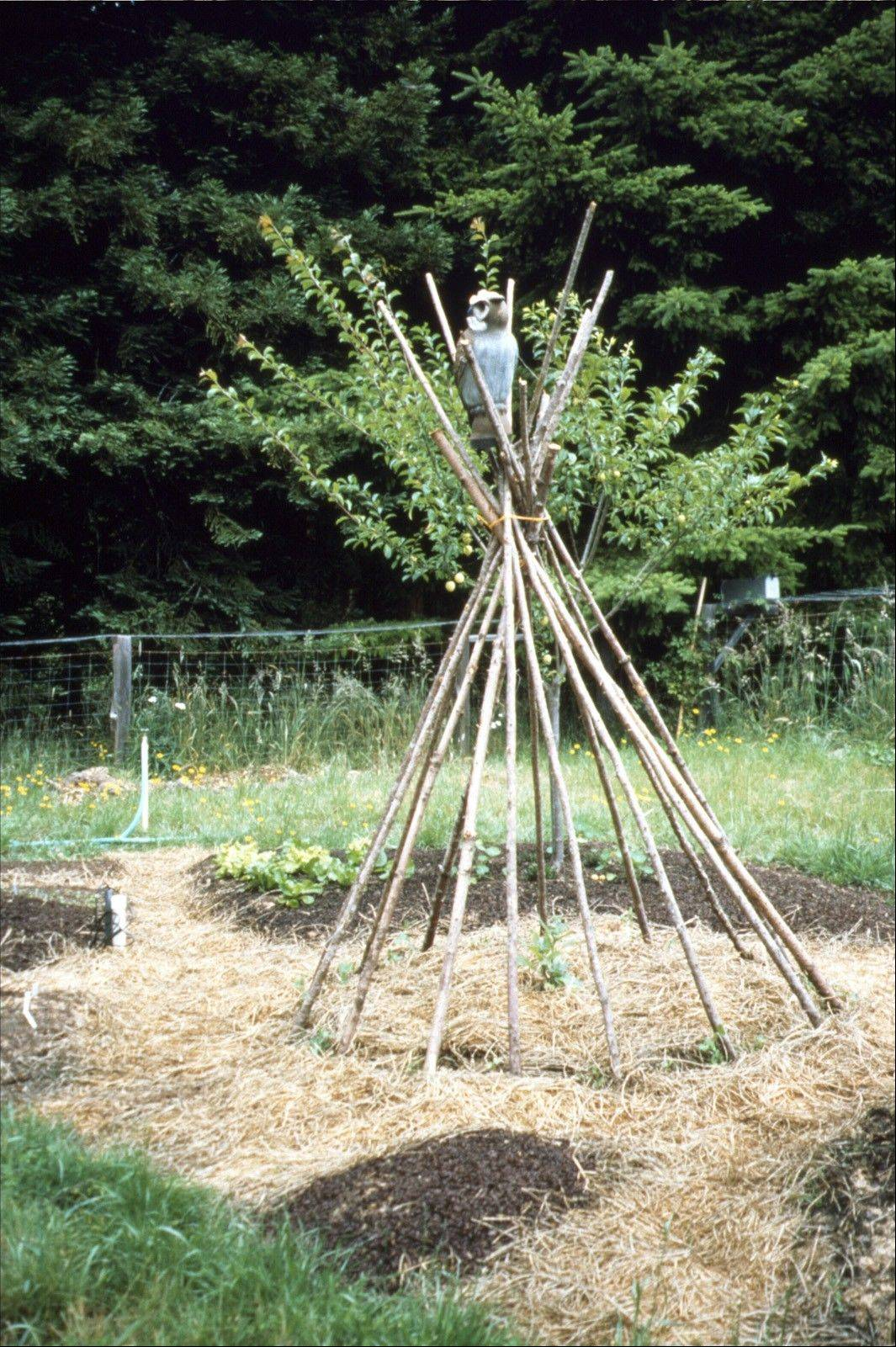 Arrange straw mulch around young seedlings to reduce competition from weeds.