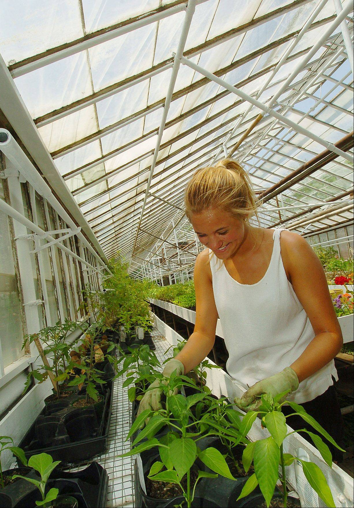 Kirsten Halvorsen tends to peppers in the greenhouse at Natural Environments nursery in Hawthorn Woods.
