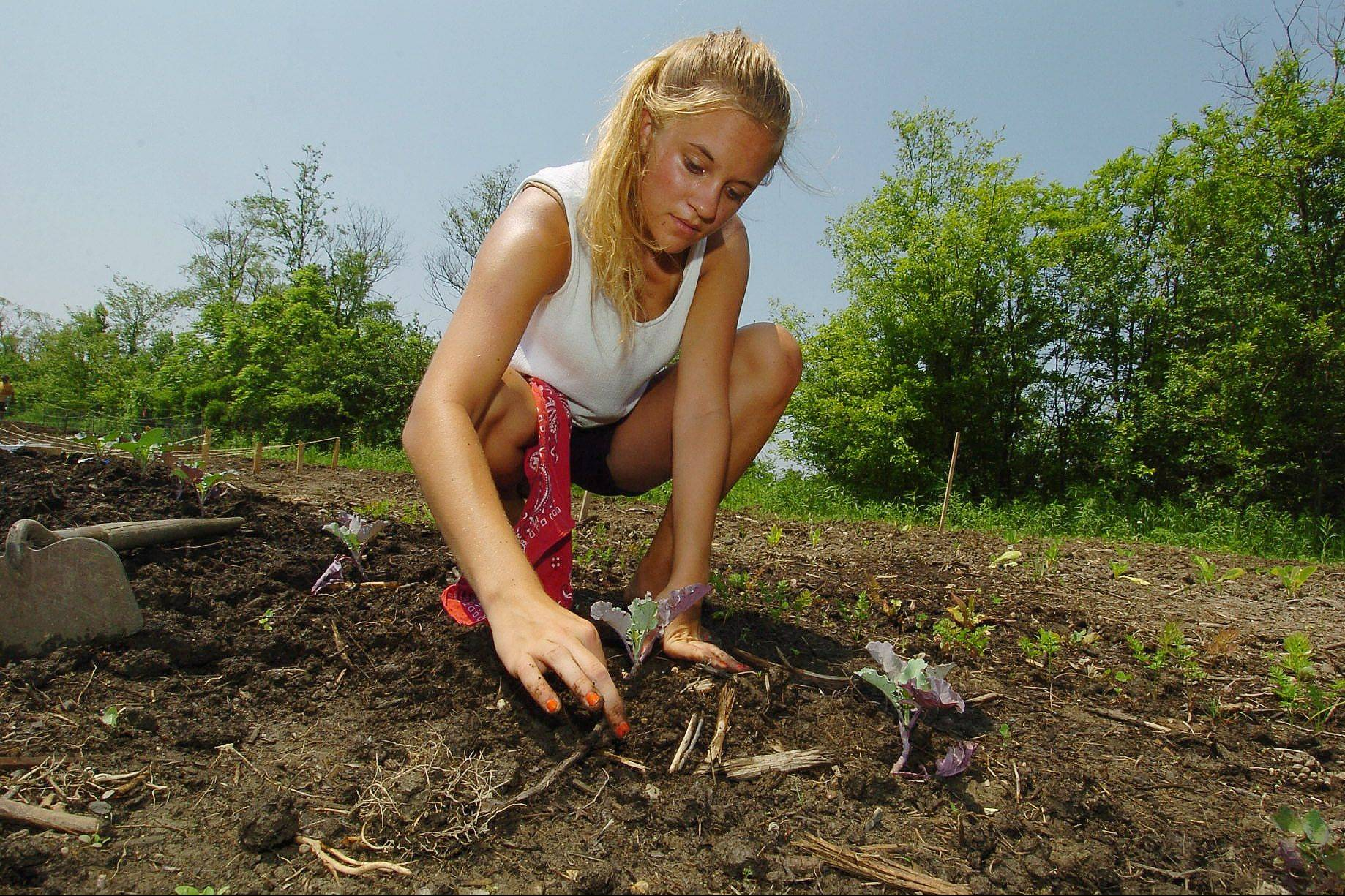 Kirsten Halvorsen plants broccoli in her garden space at Natural Environments nursery in Hawthorn Woods.