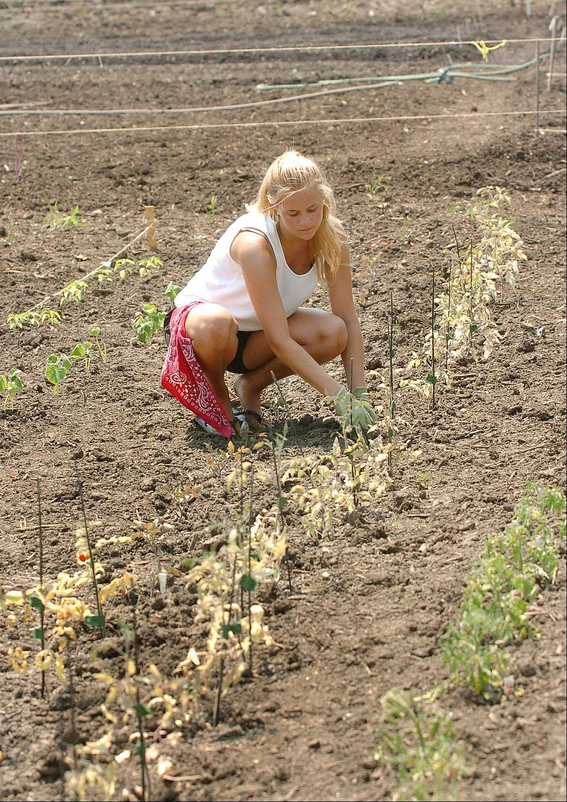 Kirsten Halvorsen tends to her tomatoes in her garden space at Natural Environments nursery in Hawthorn Woods.