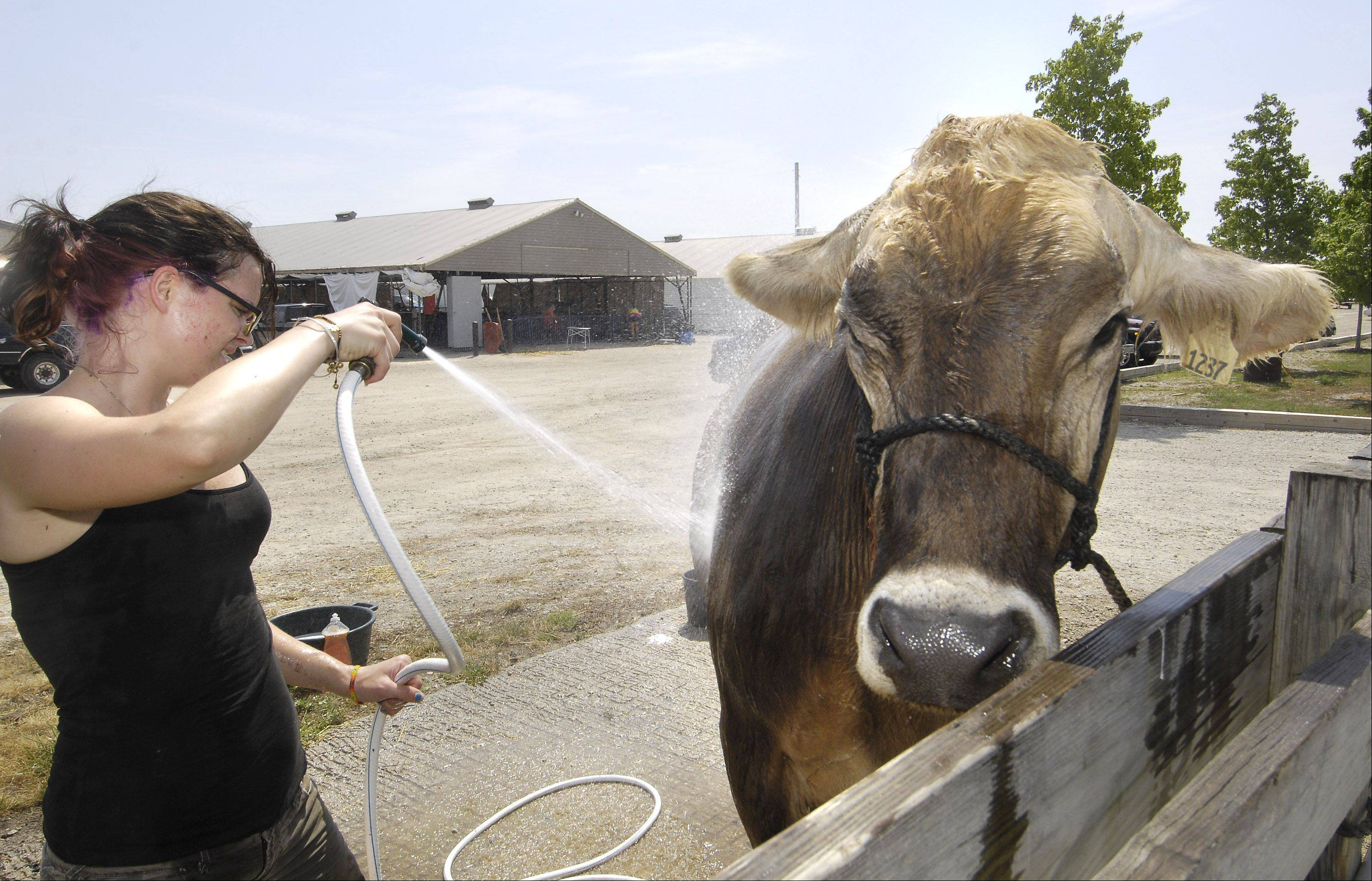 Frantic, an 1.800-pound swiss dairy cow turns her ears down as Grace Shanks, 20, of Garden Prairie, Wis., sprays her Tuesday in the heat at the Kane County Fair in St. Charles.