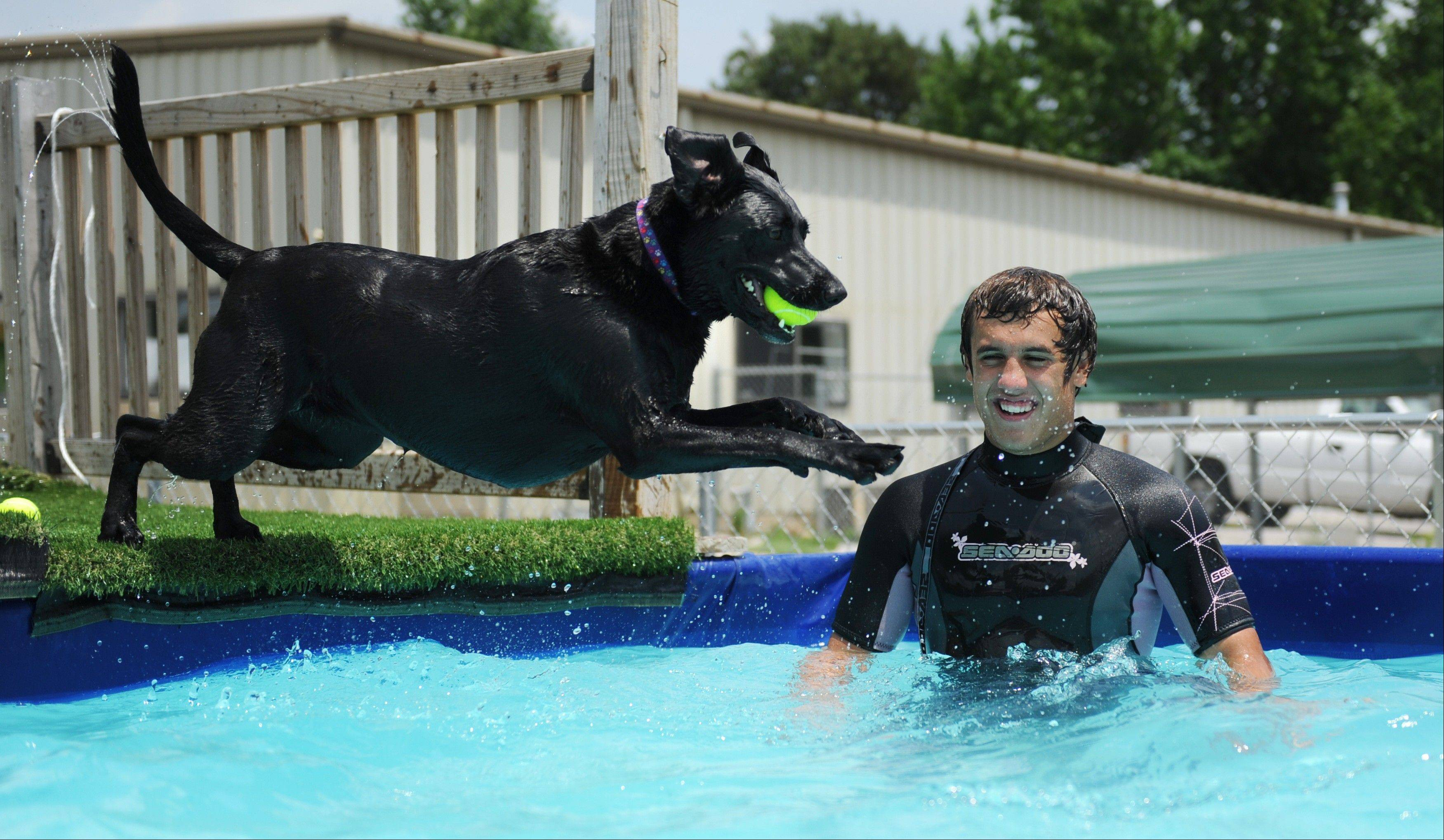 Madison, a black lab mix, leaps back into the pool during �pool time� with Luke Terrell at The Dog House, a cage-free boarding and doggy daycare, in Bloomington, Ind. The large pool is a great way to cool off in the extreme heat.