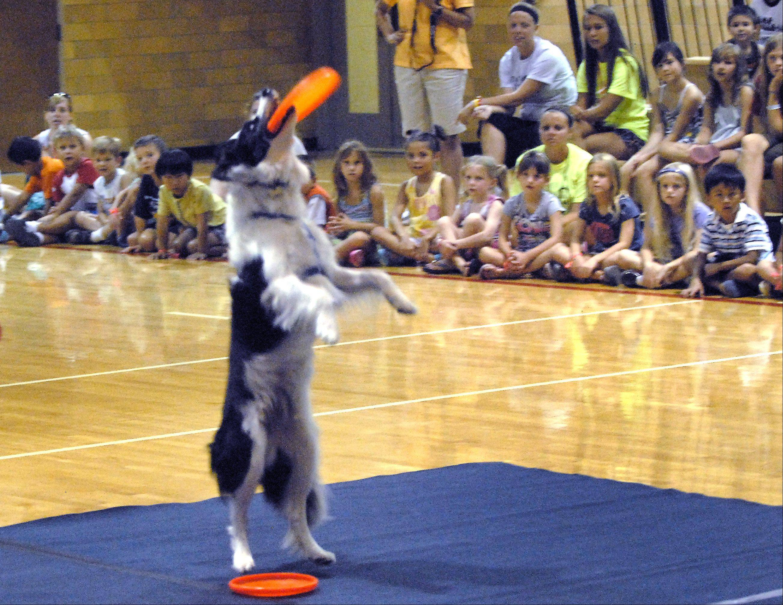 Shea, a Border Collie, stands up to catch a Frisbee during a performance Wednesday by the FlyDogs at the Palatine Park District's Community Center Gym.