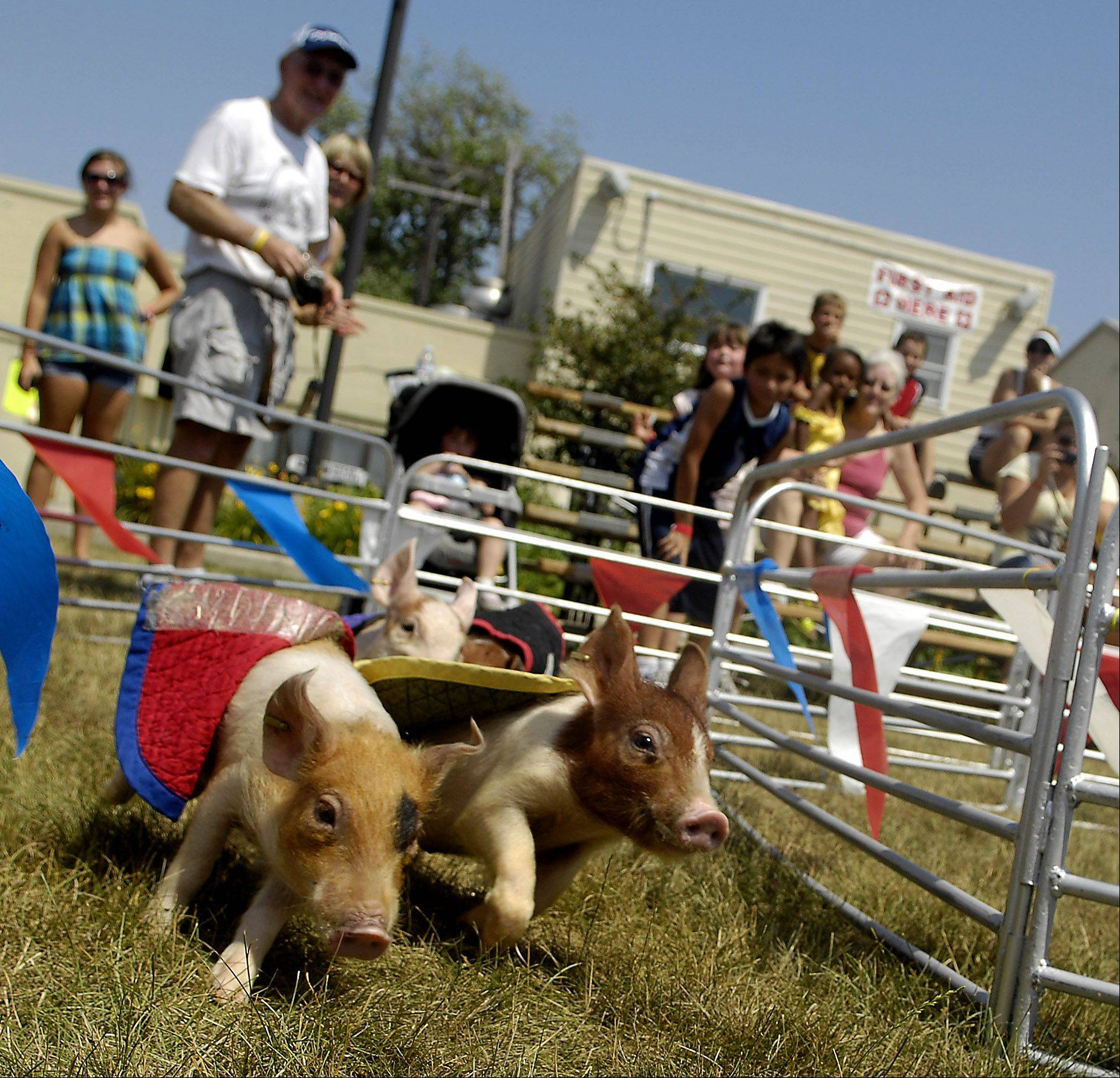 The Swifty Swine racing pigs go round the bend during day two of the Kane County Fair in St. Charles Thursday.
