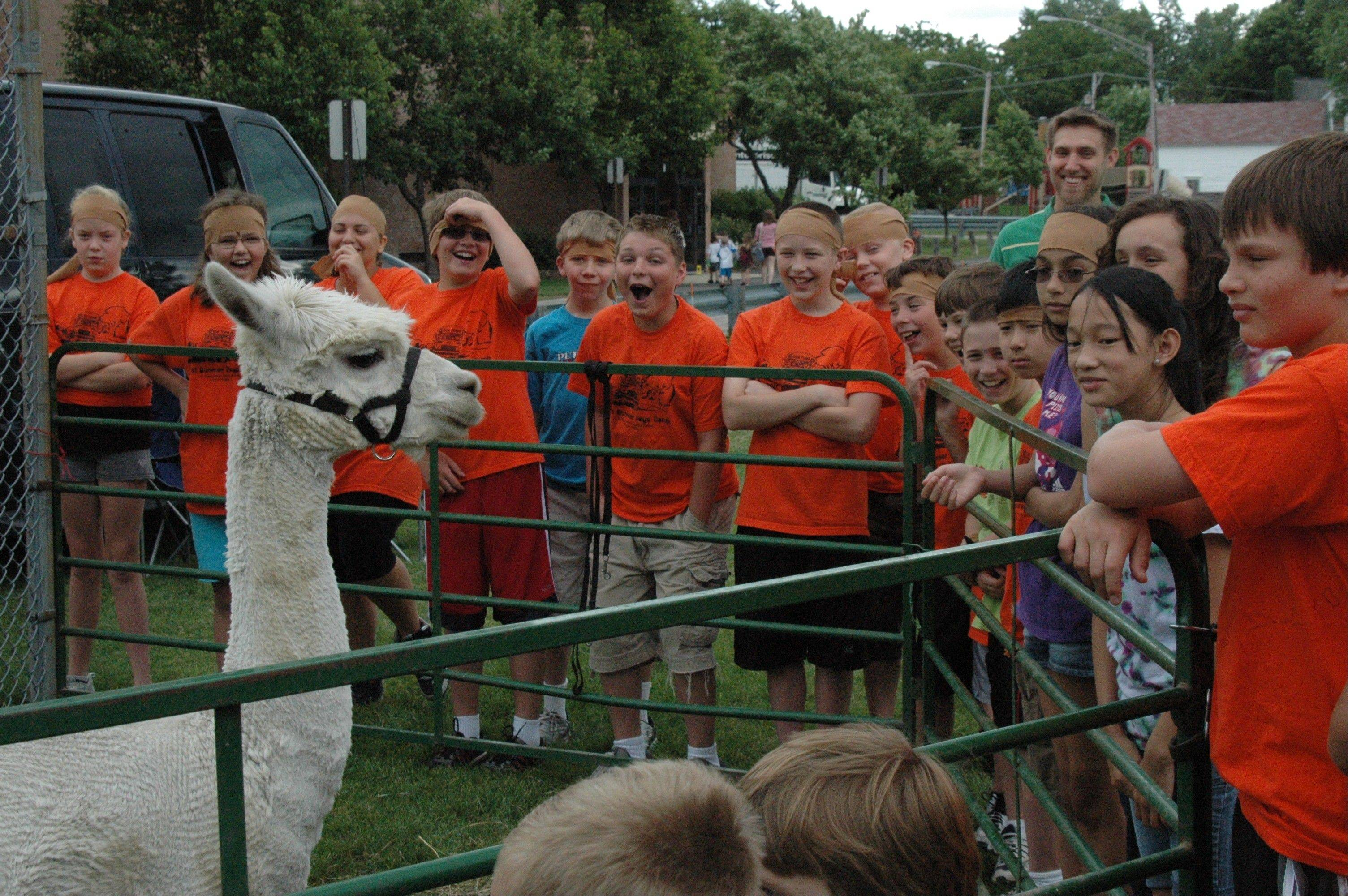 Children saw live alpacas and helped clean their sheared fiber and felted real lambs' wool during the Hometown Nazareth vacation Bible school at St. Peter Lutheran School in Arlington Heights.