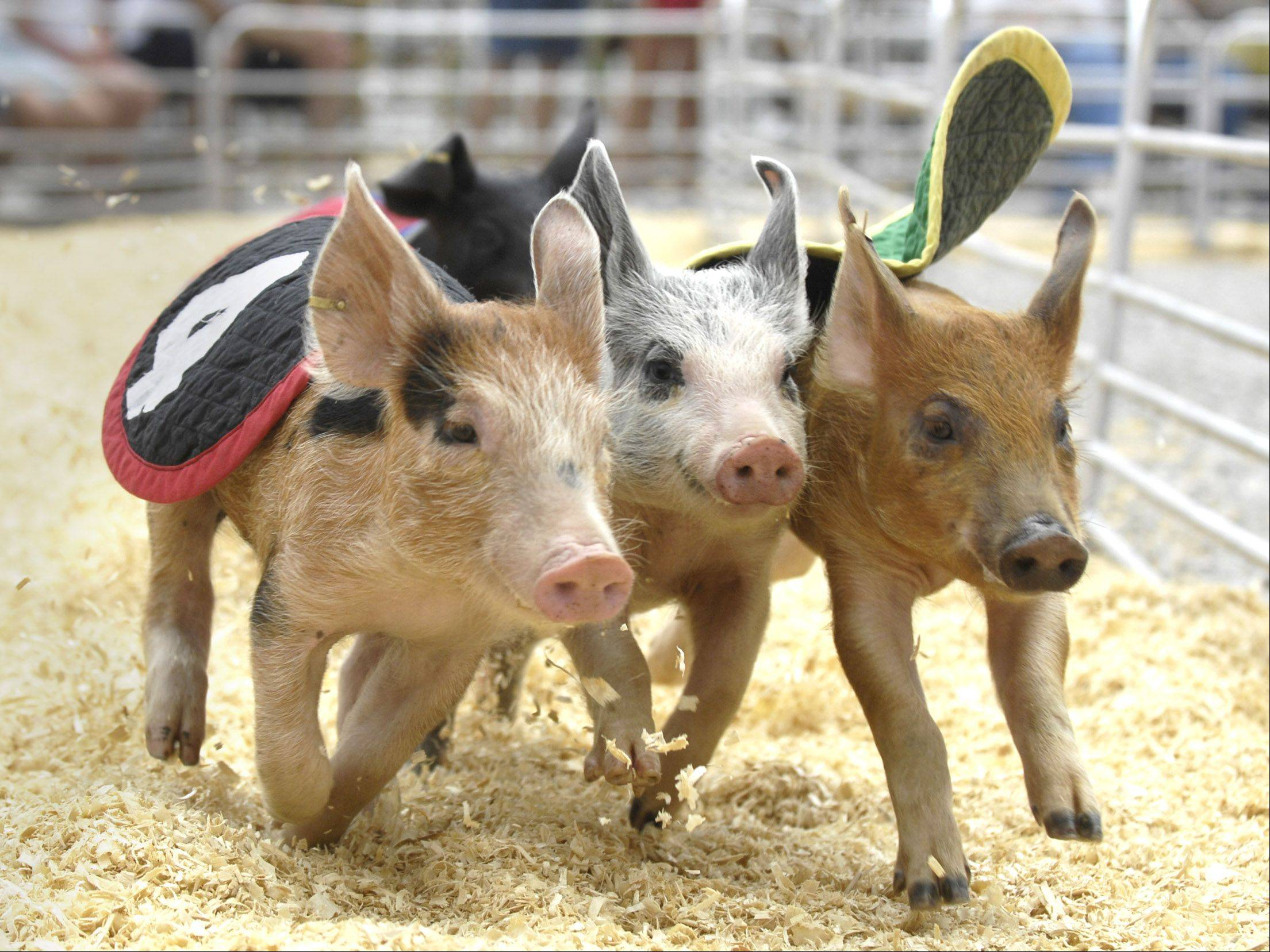 The Swifty Swine Productions Racing Pigs are set to return to the Kane County Fair in St. Charles.