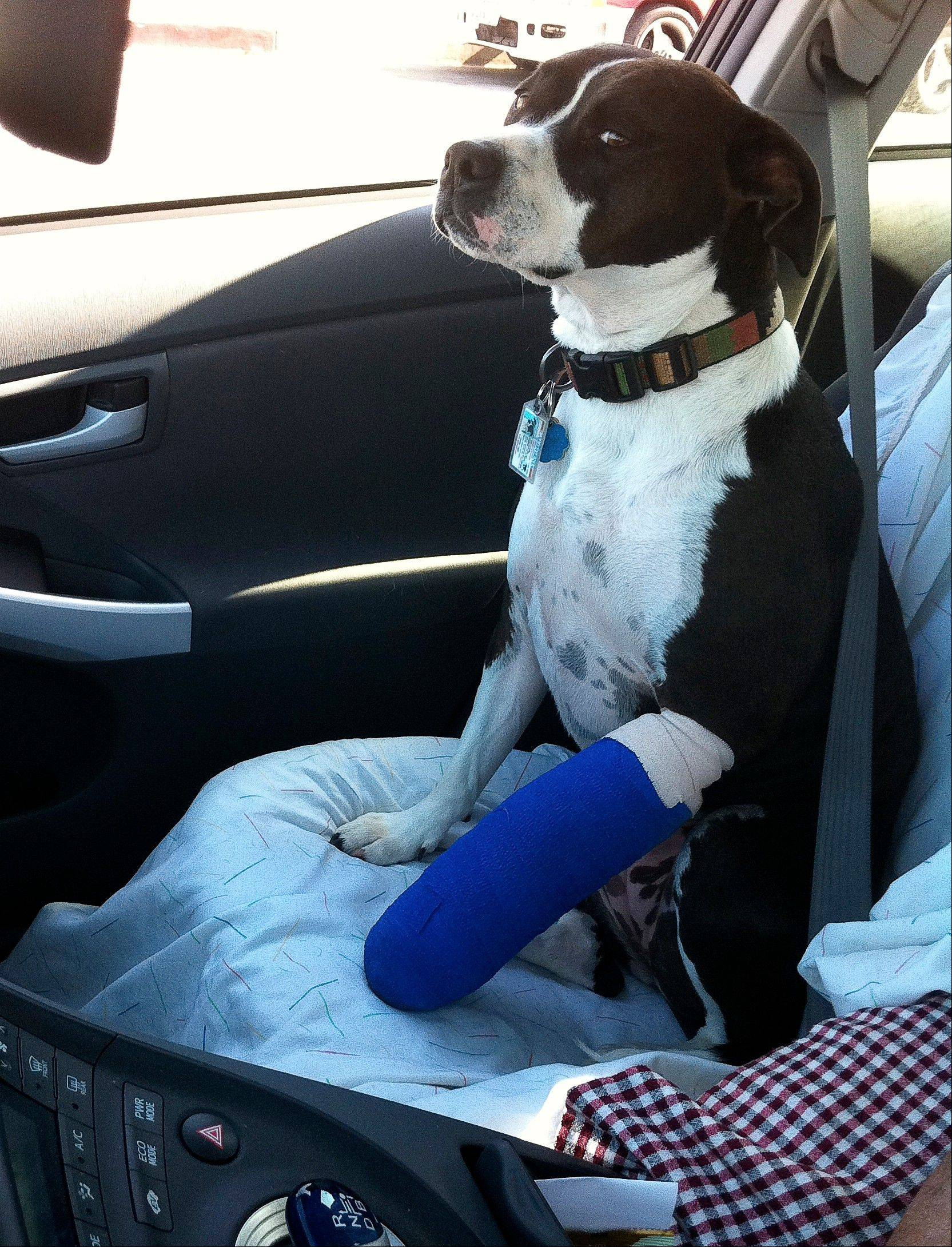 Richard Vogel�s dog Marley, a 3-year-old pit bull mix, rides home from the vet in Vogel�s vehicle wearing a cast for a broken toe, in Los Angeles. Marley broke her toe after chasing after a squirrel in a dog park.