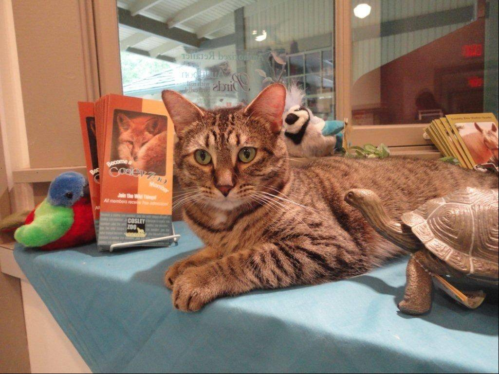 Zack, Cosley Zoo gift shop�s �guard cat,� is a rescue — just like many of the animals that live there.