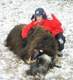 Wildlife veterinarian Kimberlee Beckmen monitors the heart of an anesthetized muskox.
