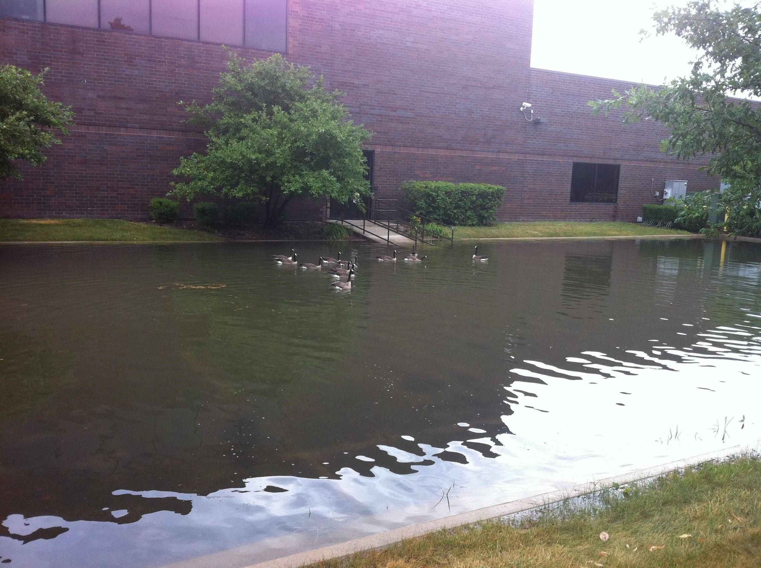 The geese were quite happy with the flooding in this parking lot in the Business Center Drive area in Mount Prospect. The trekked over from a nearby pond to check out the new swimming area.