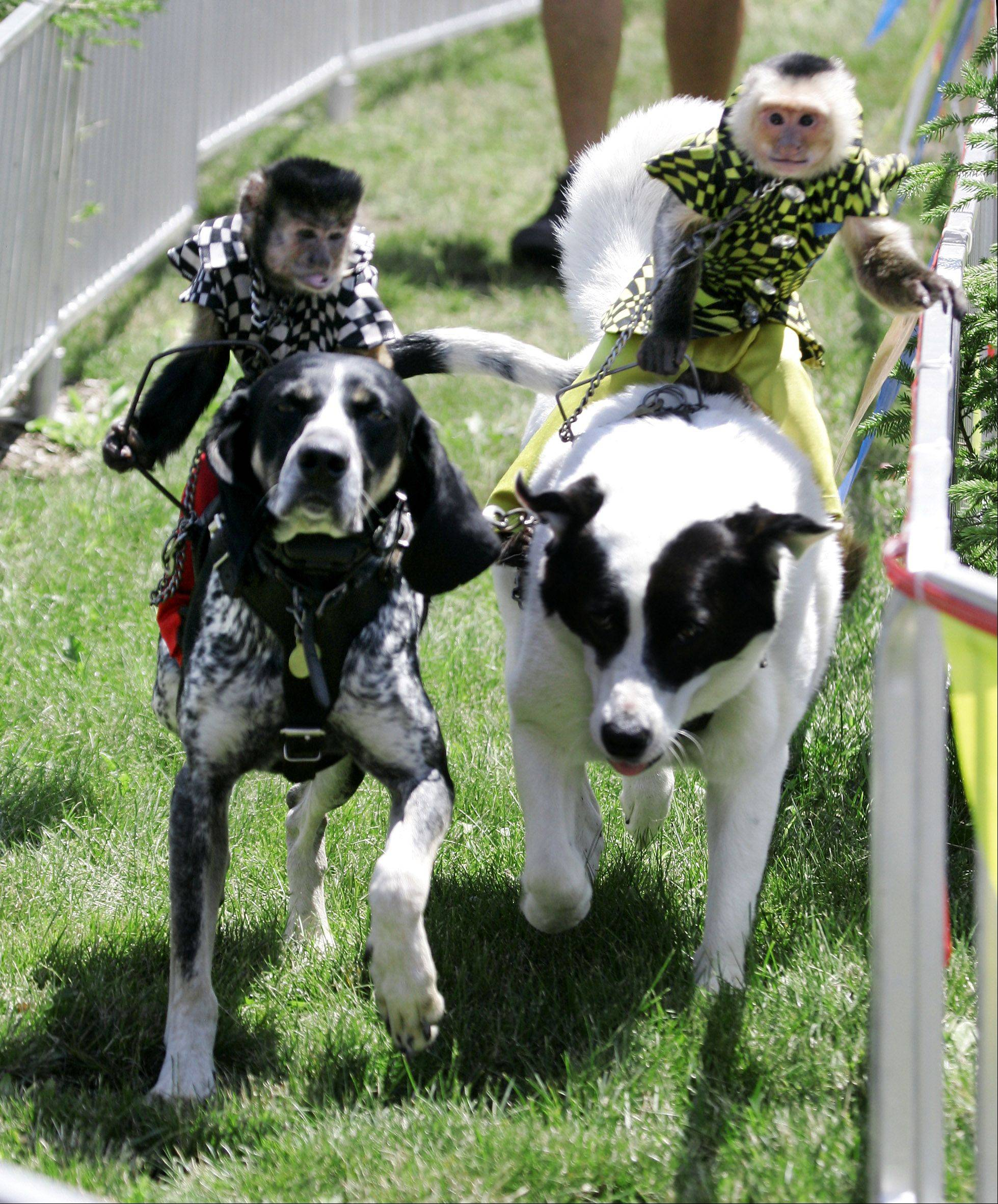 "Bert rides Scooby-Blue, left, as he races Bobo on Sasha during the Banana Derby with ""America's Favorite Monkey Jockeys"" Tuesday at the Lake County Fair in Grayslake. Bert won the race to the cheers of the crowd."