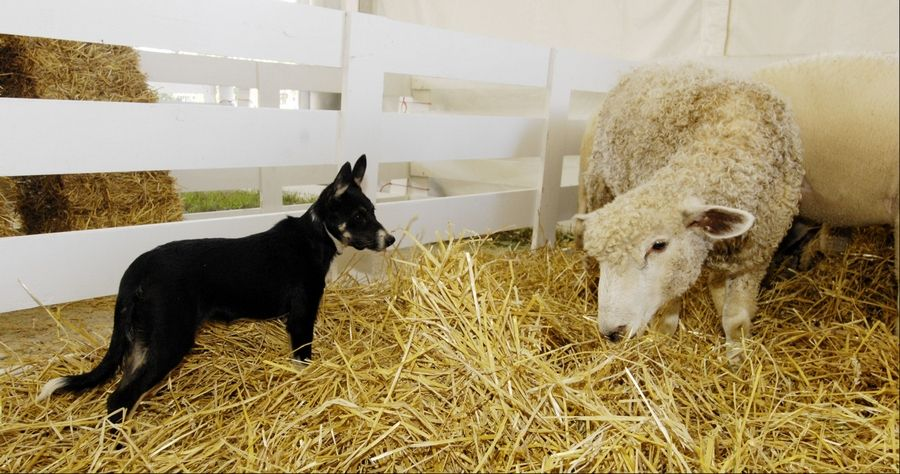 "Four-month-old boarder collie ""Sotsie"" already is starting to work the sheep that Richard Crome of downstate Charleston brought to the DuPage County Fair in Wheaton, which begins Wednesday."