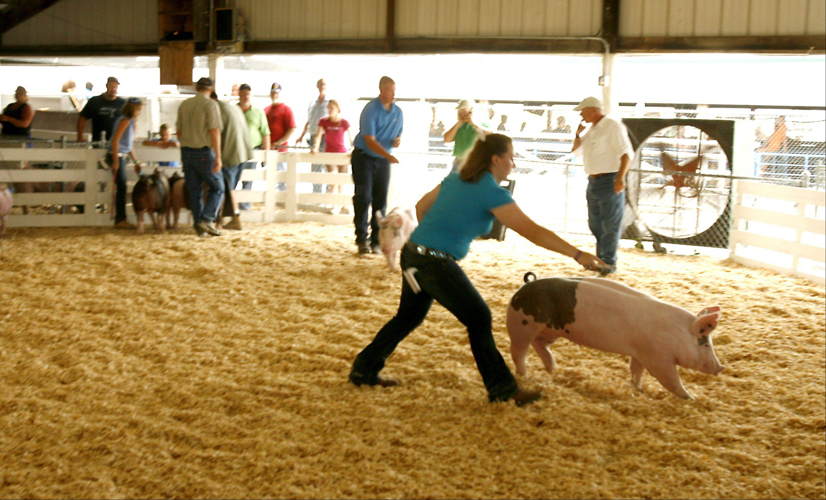 The swine judging of the junior open division begins.