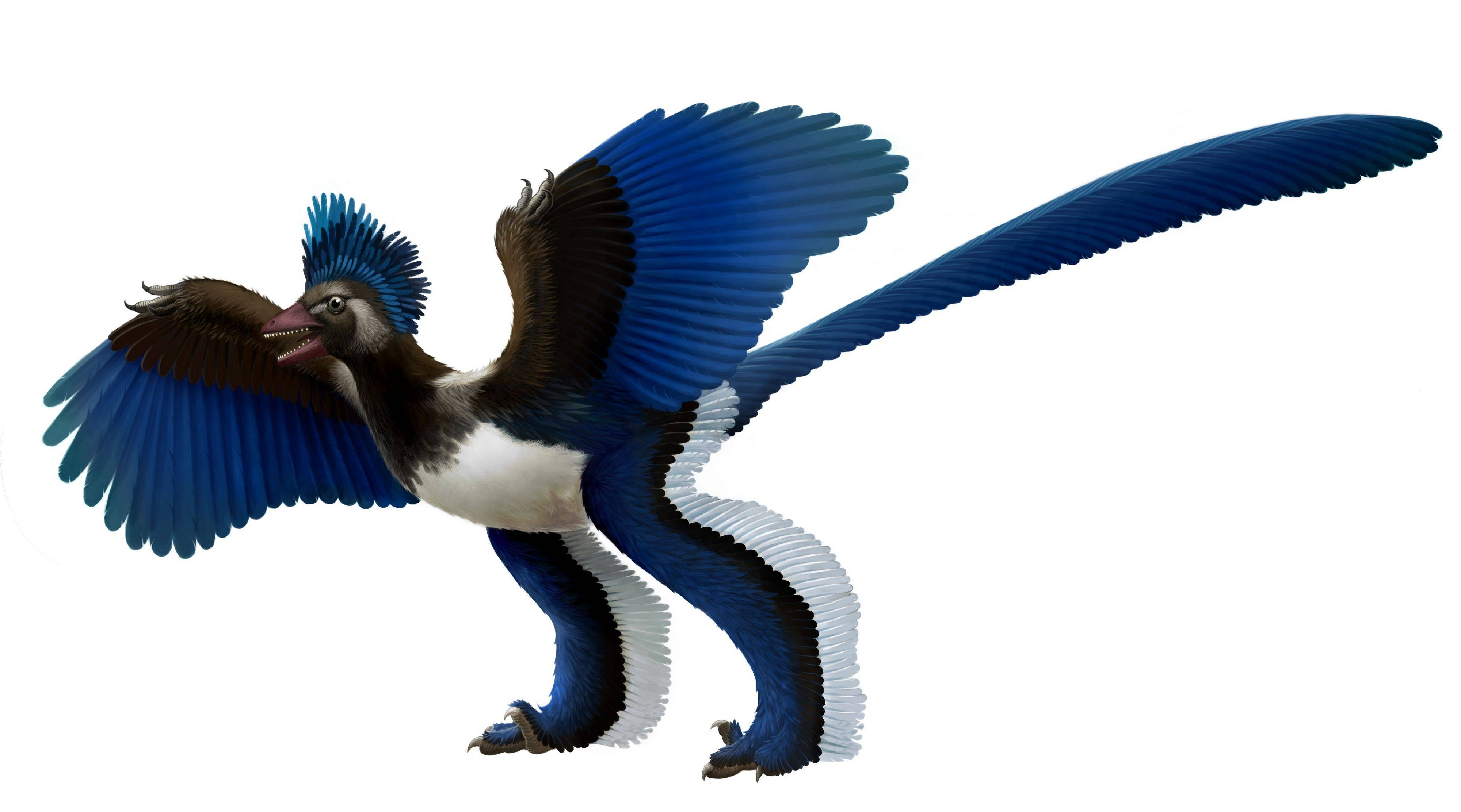"This artist's rendition what scientists at Chinese Academy of Sciences in Beijing are dubbing ""Xiaotingia zhengi."" The discovery of its fossilized remains helped scientists propose an evolutionary tree that suggests archaeopteryx is not a bird."