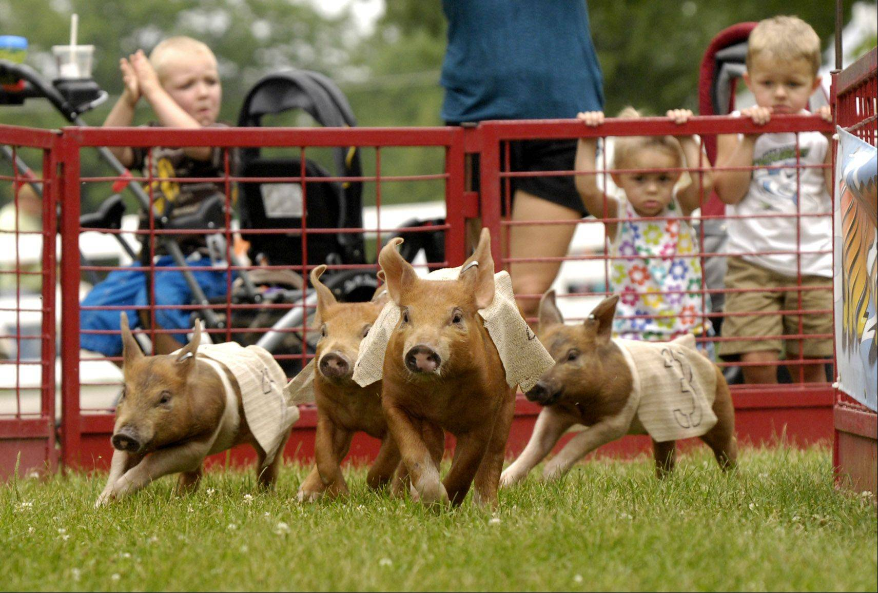 Mark Black/mblack@dailyherald.com Pig races entertain spectators, on second day of the 2011 DuPage County Fair in Wheaton.