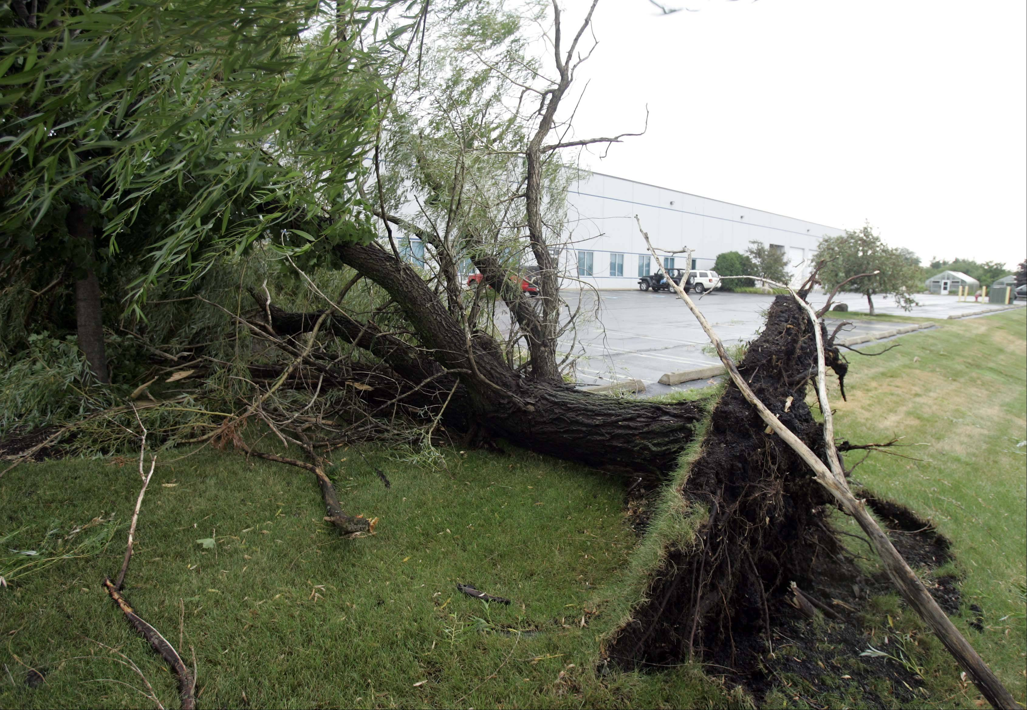A large willow tree was completely uprooted in a Carol Stream industrial park Thursday after a large overnight storm.