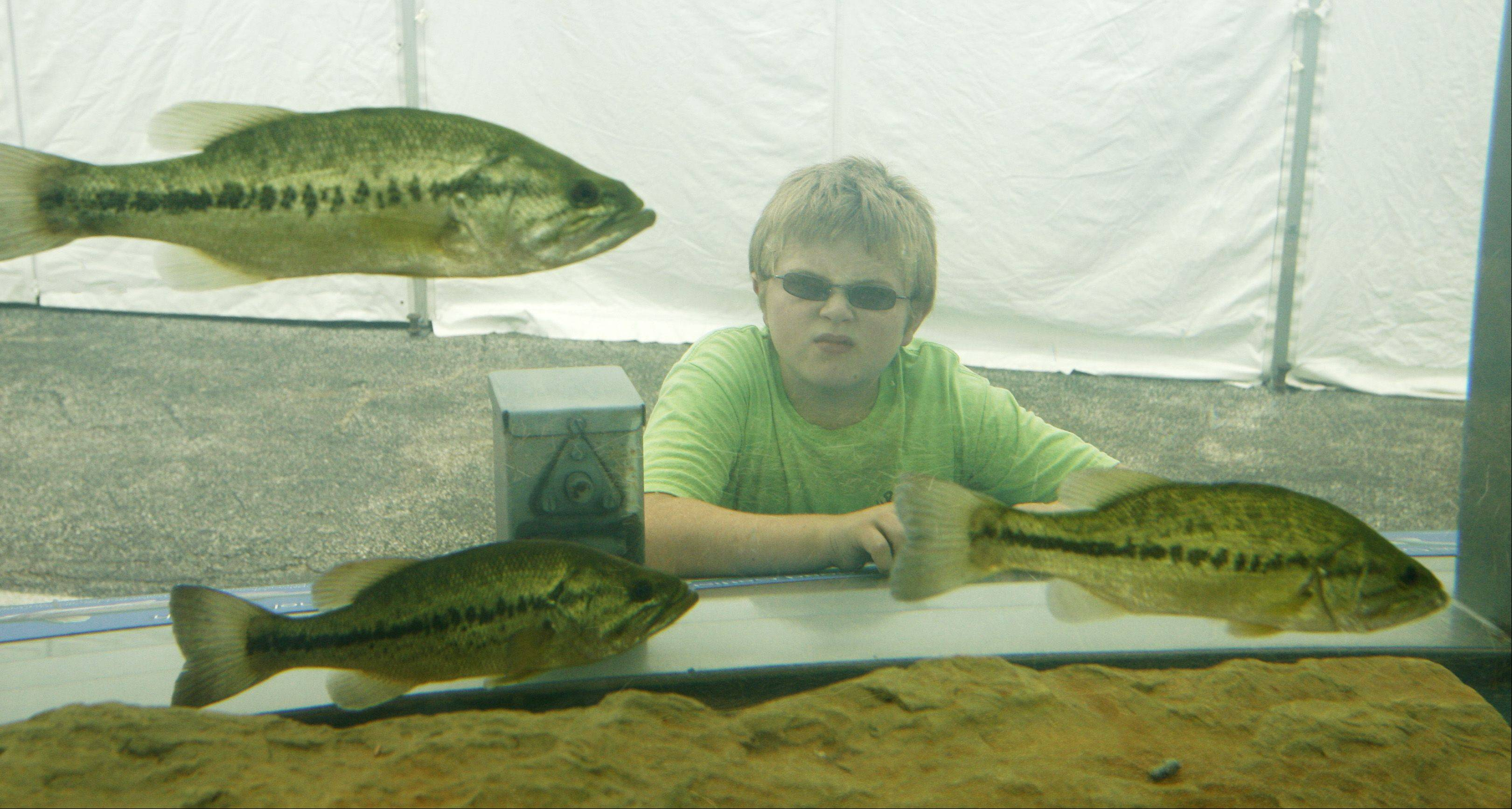 Trenton Owens, 12, of Seneca eyes some largemouth bass at an aquarium exhibit at the DuPage County Fair. All fish inside the tank were caught in DuPage rivers and streams.