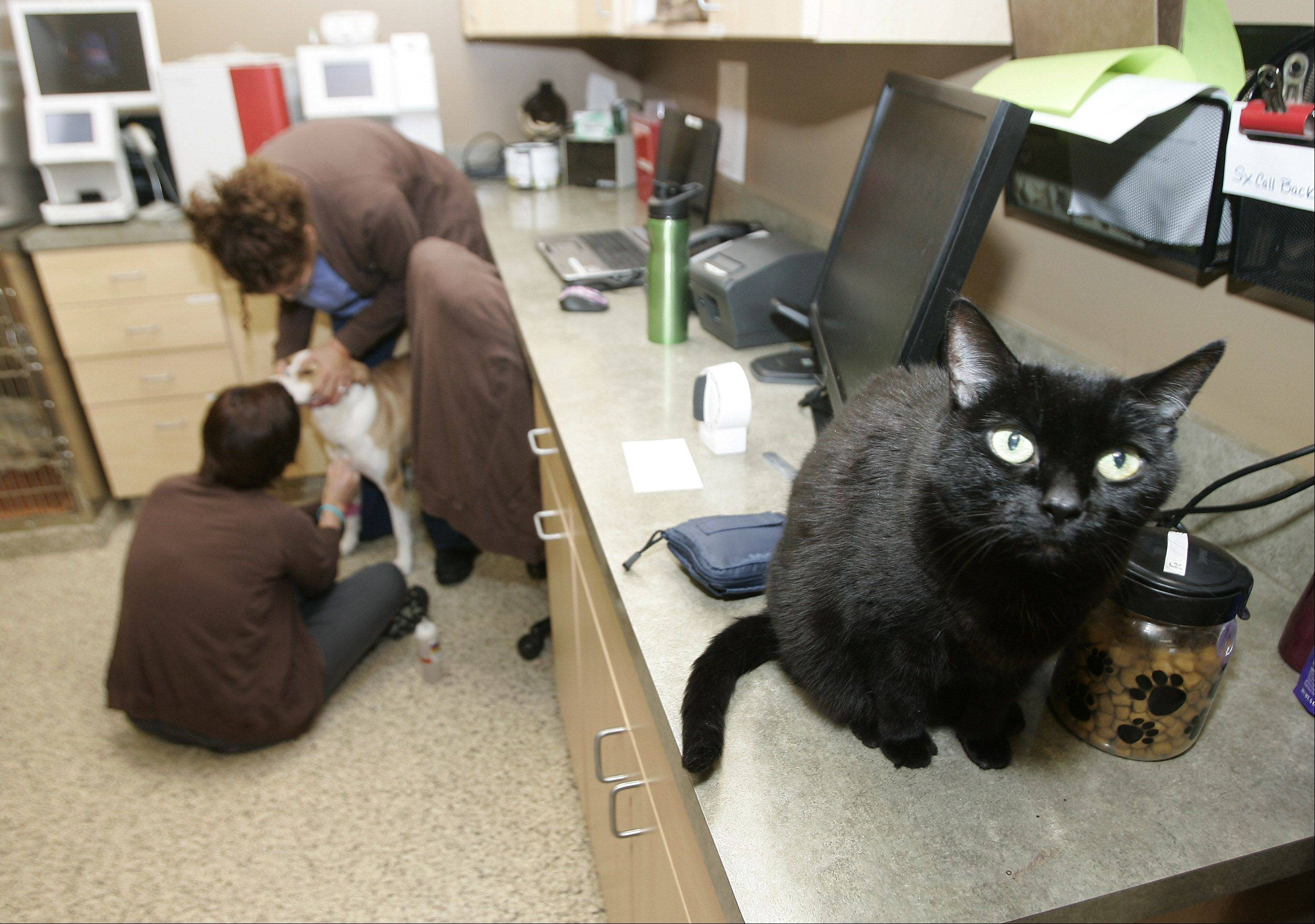House cat Nala sits on a counter as veterinarian technicians Laura Beitz and Lia Larson examine a dog at Greentree Animal Hospital in Libertyville. The practice moved to the larger location earlier this year after 15 years on Milwaukee Avenue.