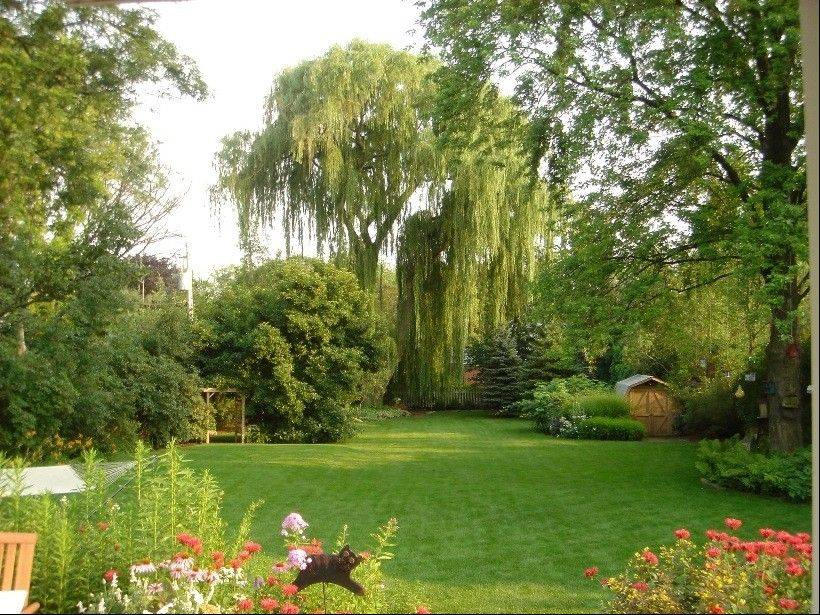A weeping willow provides a towering backdrop over the yard.