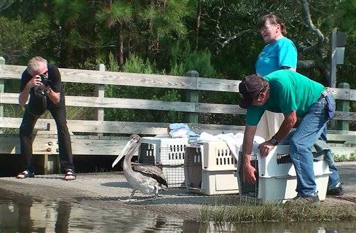 Gary Sowerby, left, who drove Ralph, a pelican, from Halifax, Nova Scotia to Outer Banks Wildlife Shelter, Newport, N.C., in March, 2010, takes a photo as Herta Henderson, Wildlife Rehabilitator, at the shelter and volunteer David Jasper release the pelican back into the wild at the Cedar Point Tideland Trail area Cedar Point, N.C., Saturday, July 30, 2011. Ralph was brought to the shelter being blown off course in a hurricane earlier this year and crash landing at Ralph's Club, Nova Scotia Canada.