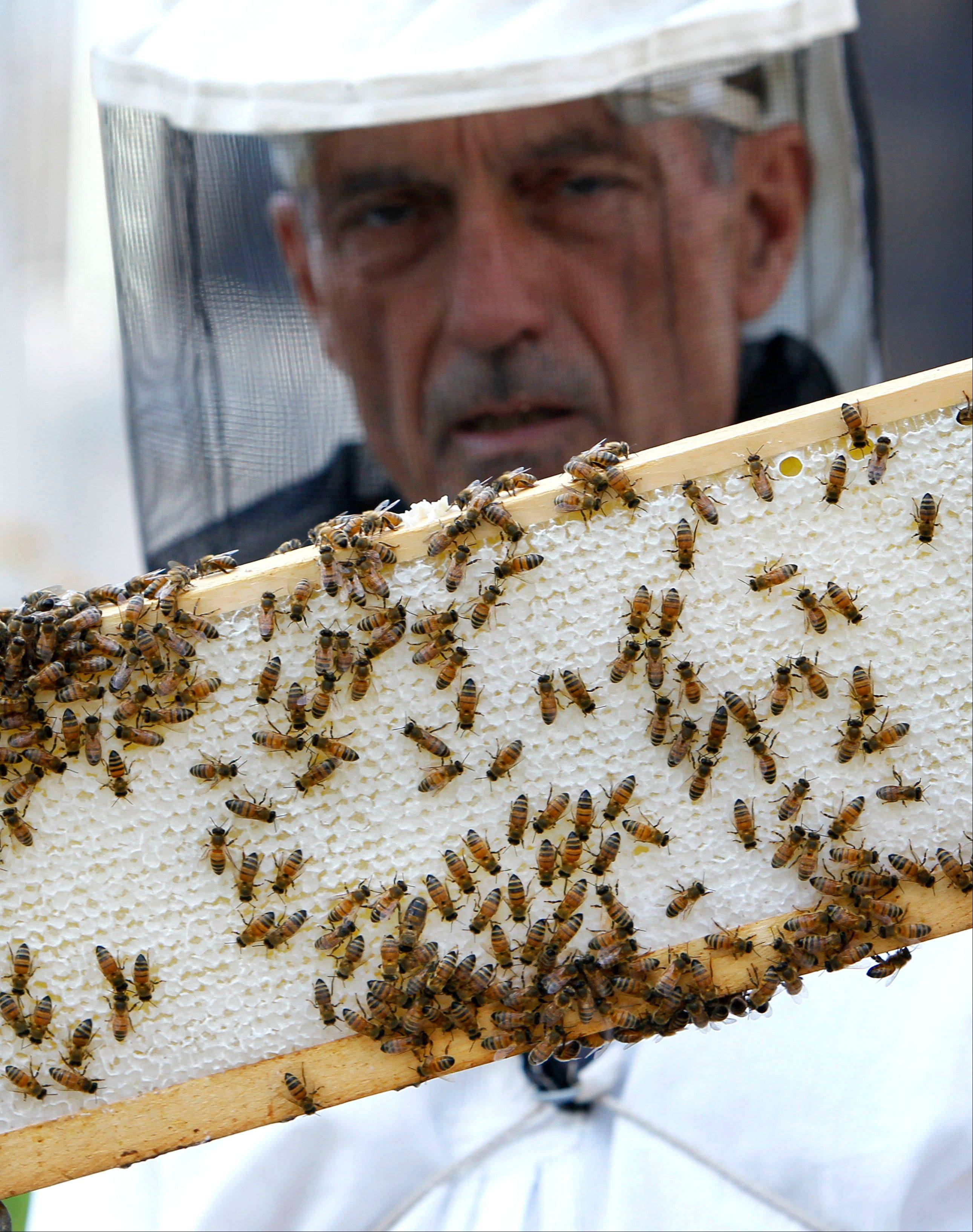 Beekeeper Michael Thompson examines a small section of a beehive frame on top of City Hall in Chicago.   , consisting of a beeswax comb, honey, brood and pollen,