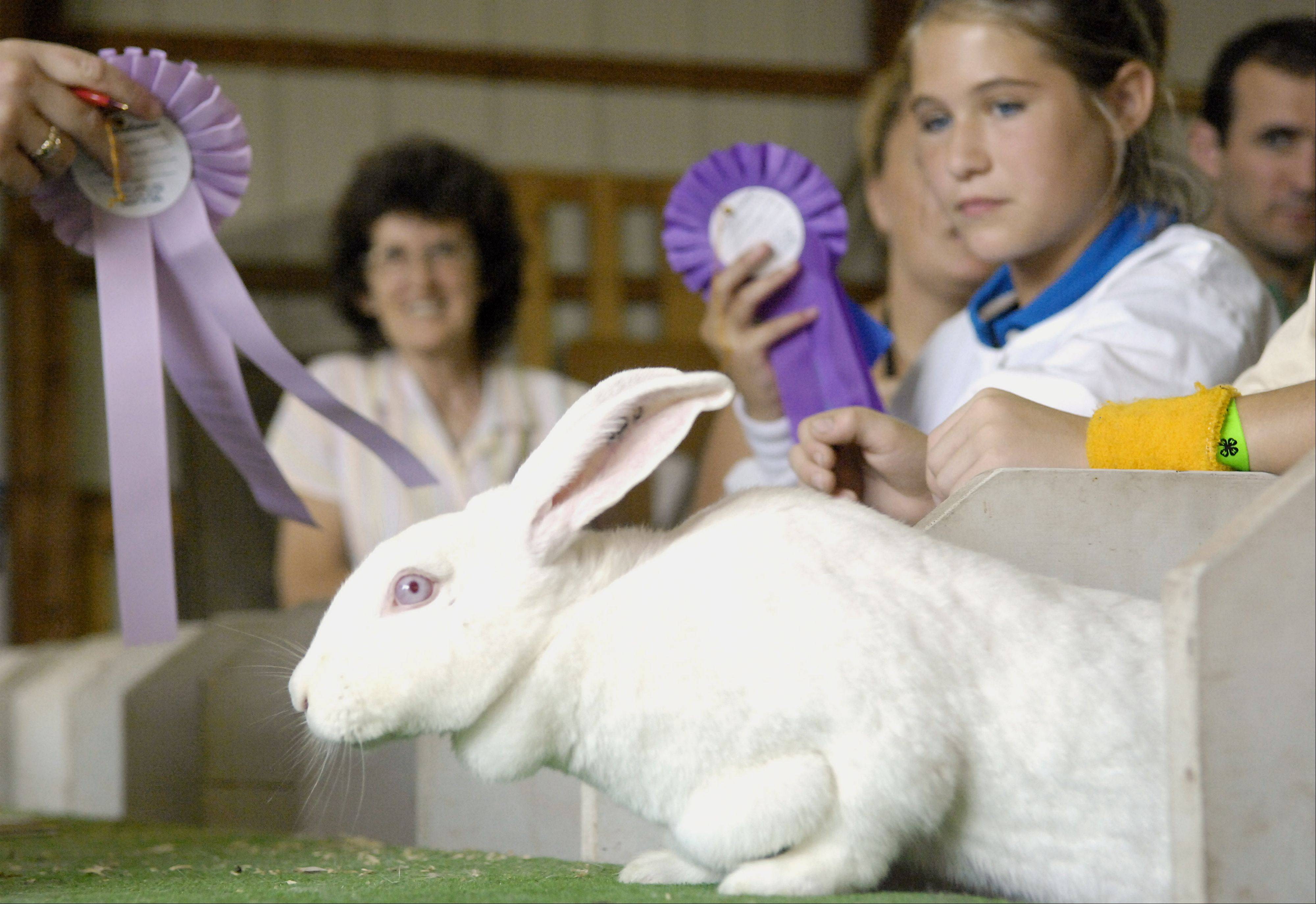 While holding a Grand Champion ribbon and also being awarded a Reserve Grand Champion ribbon as well, Karen Seegers, 11, of Harvard keeps an eye on one of her several New Zealand White rabbits during junior judging at the McHenry County Fair.