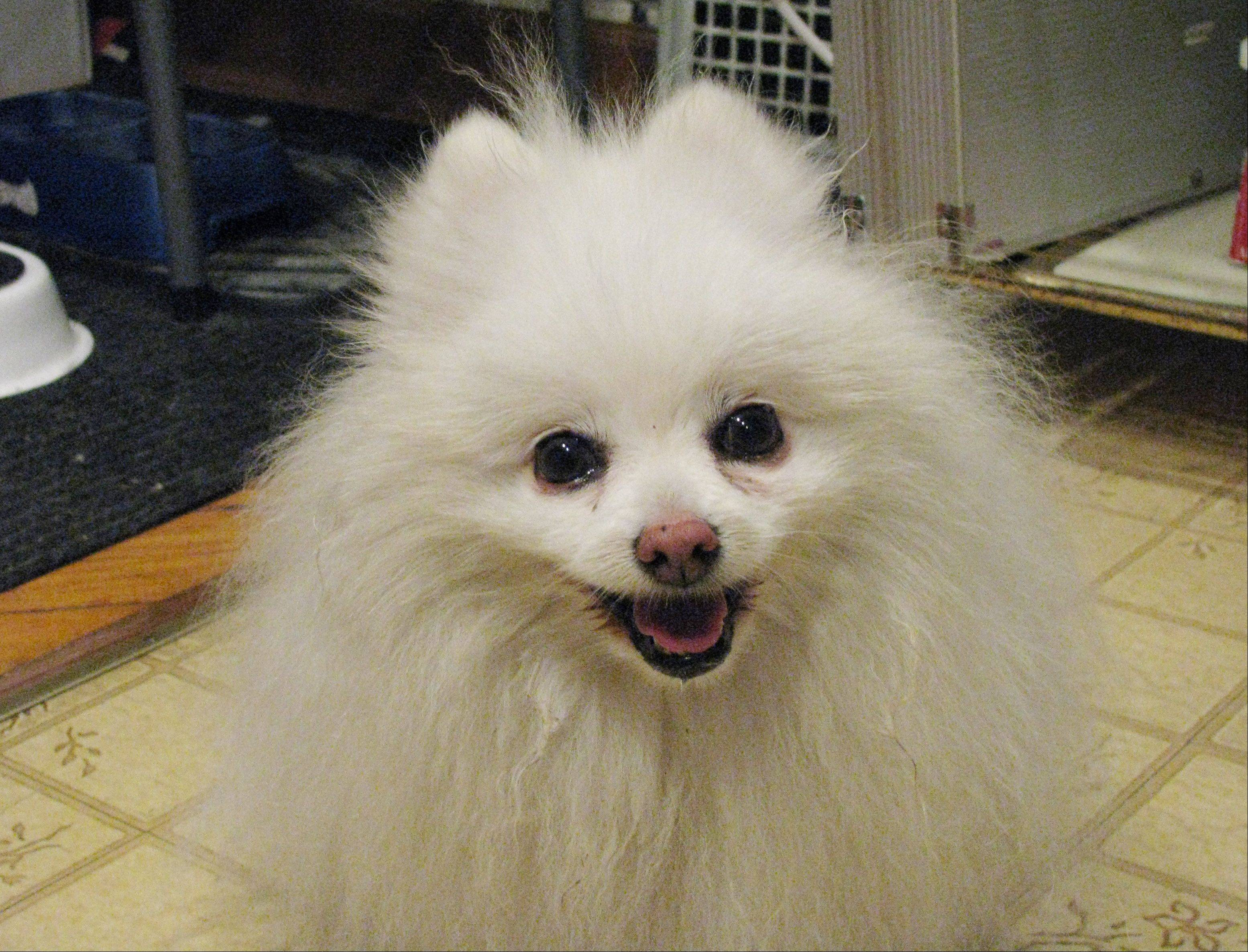 Gracie the Pomeranian was stolen June 9 but recovered June 22. Police say the dog is valued at $500 and the men planned to sell her to buy cocaine.