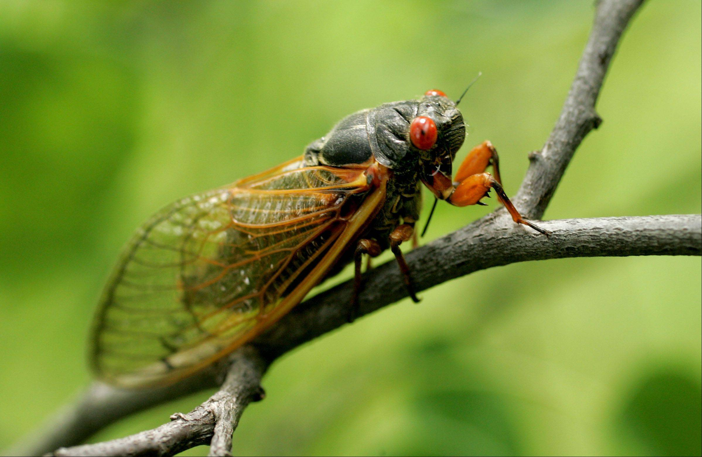 This summer's cicadas have been louder than normal, entomologists say. Cicadas are noisiest during the day, and the crickets and katydids take over in the evening. The early evening is the loudest time because of the overlap.