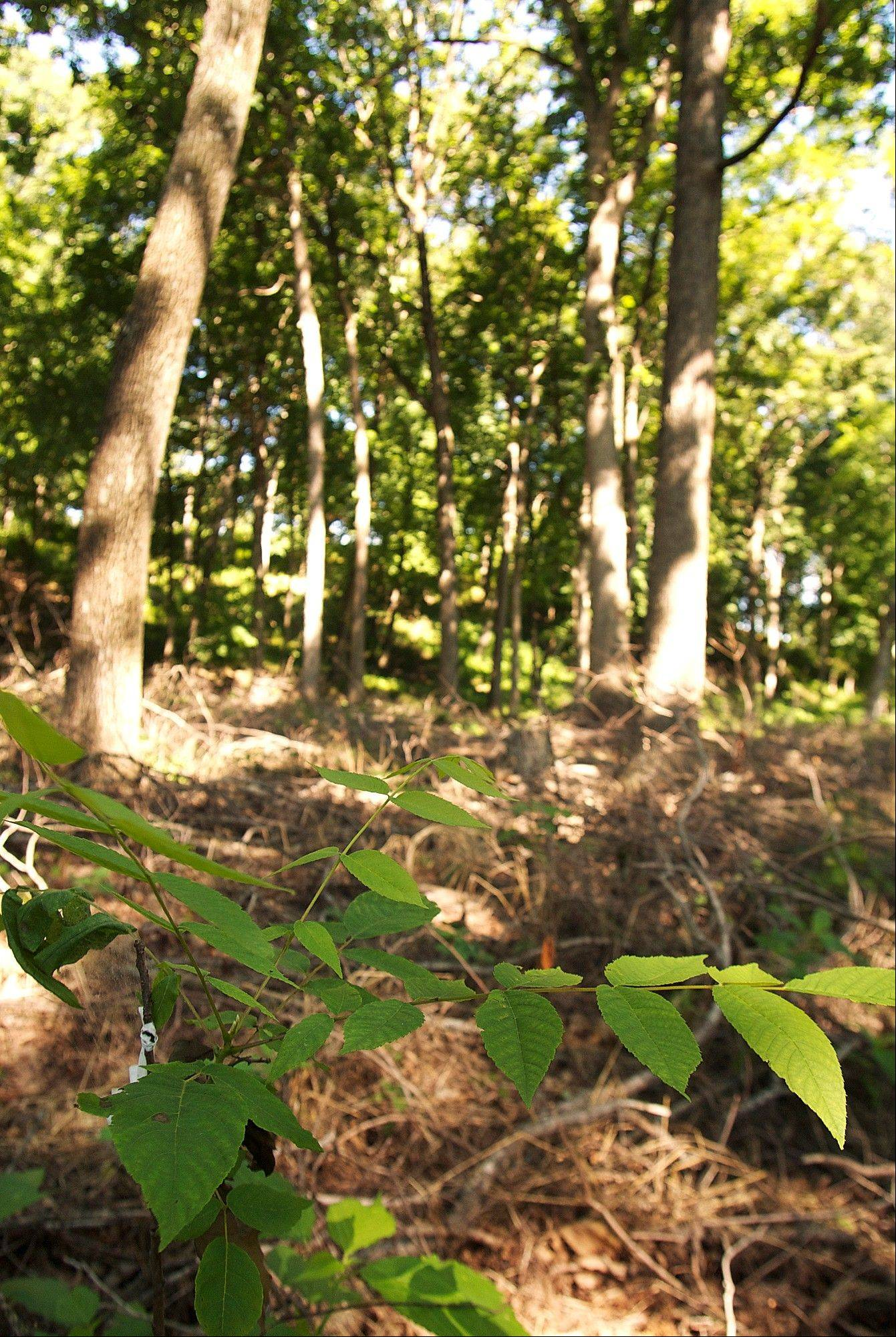 Blackburn College has planted walnut trees on a farm south of Carlineville.