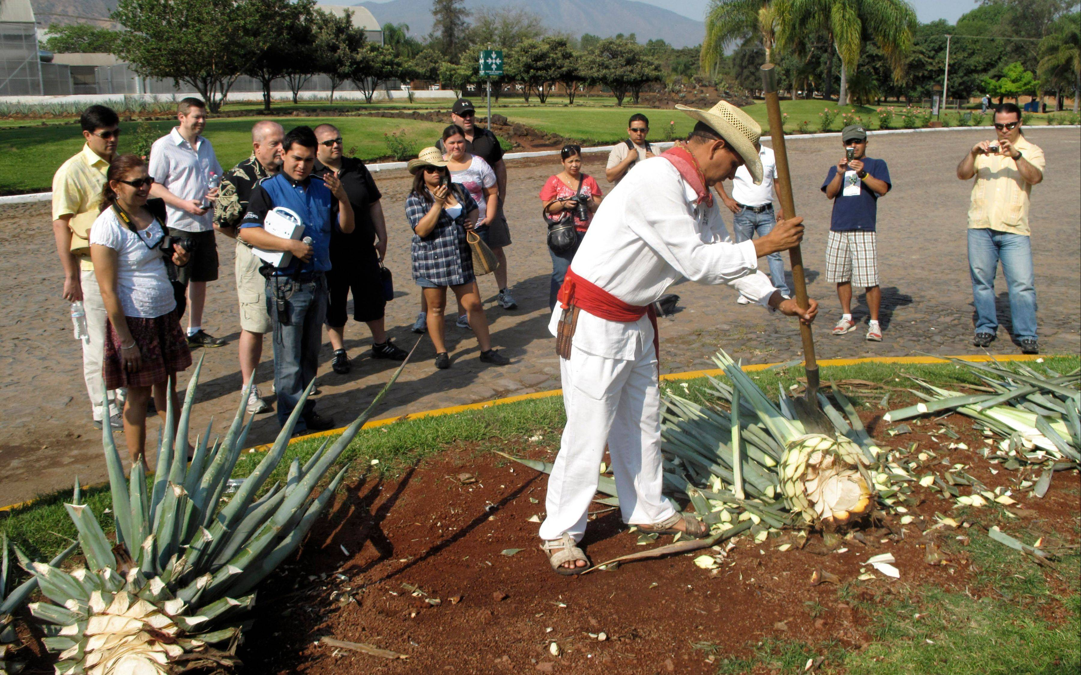 "The tour of Herradura Tequila includes a demonstration by a jimador, who uses a flat-bladed knife called a ""coa"" to remove the spiny leaves from the center pina of an agave, which is baked until the starches inside turn to sugar."