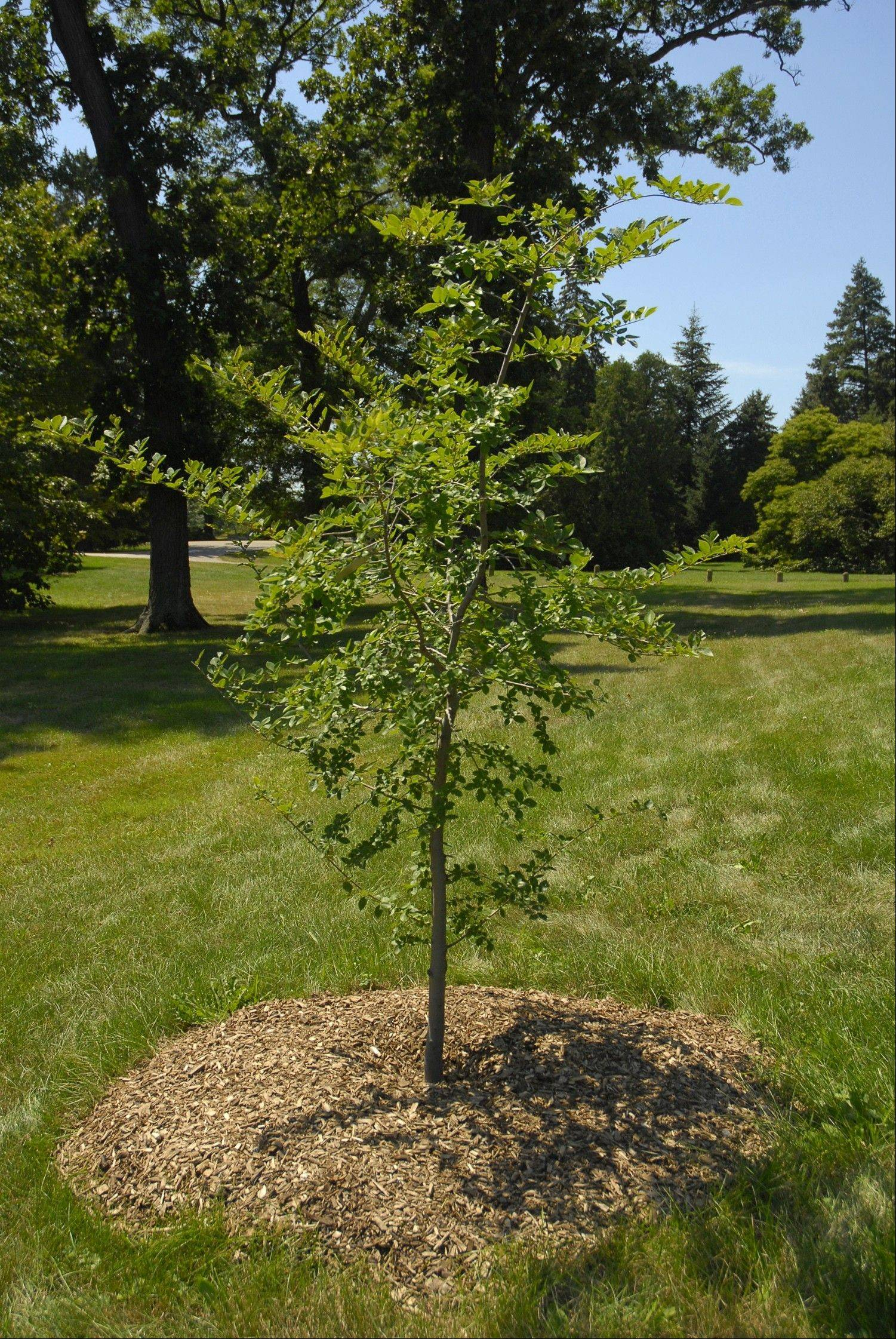When planting trees, look for the trunk flare, where it starts to widen into the roots. Plant the tree so the flare is at or just above soil level.