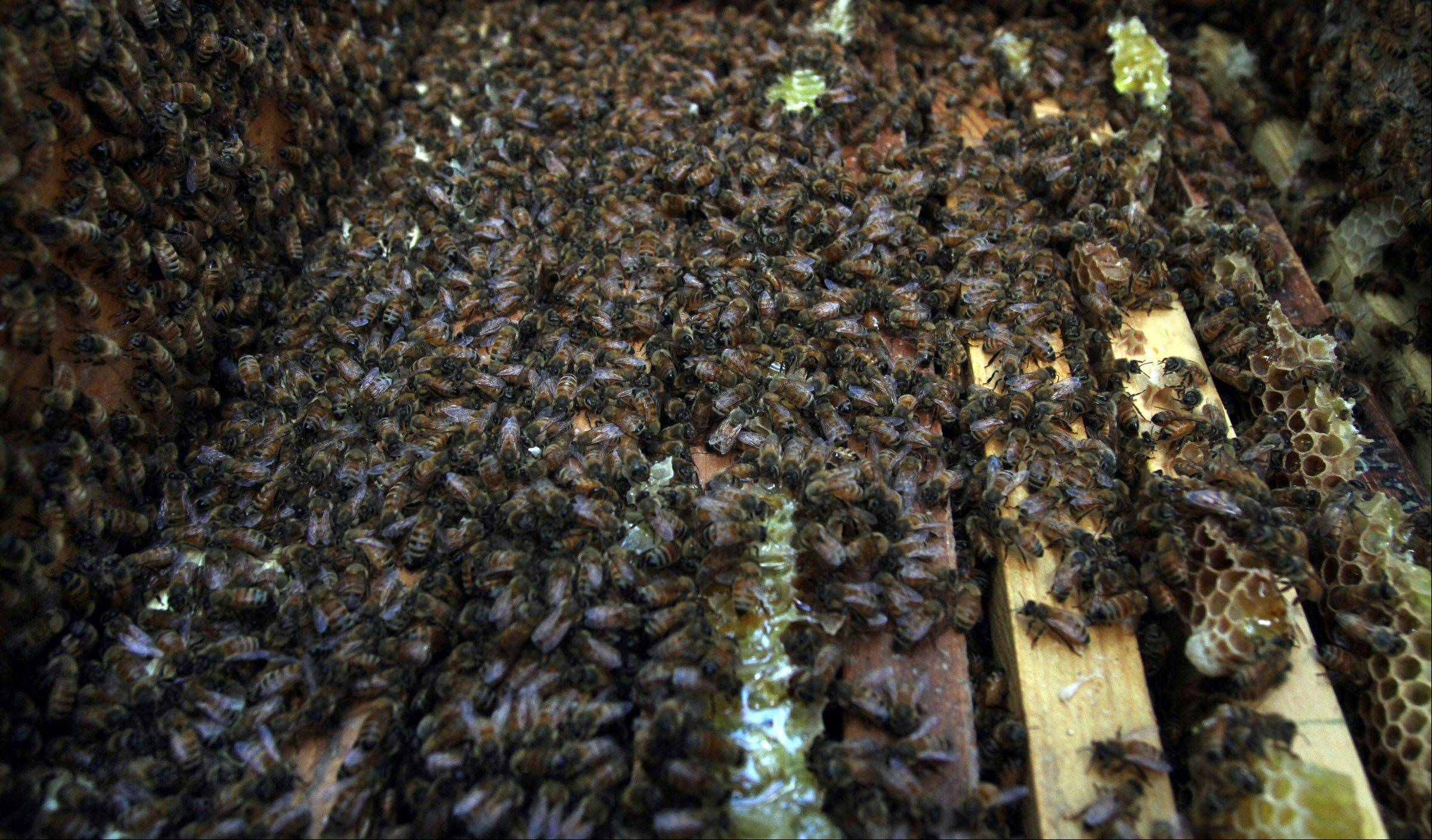 More than 1 millions bees produce honey at the O'Hare International Airport apiary.