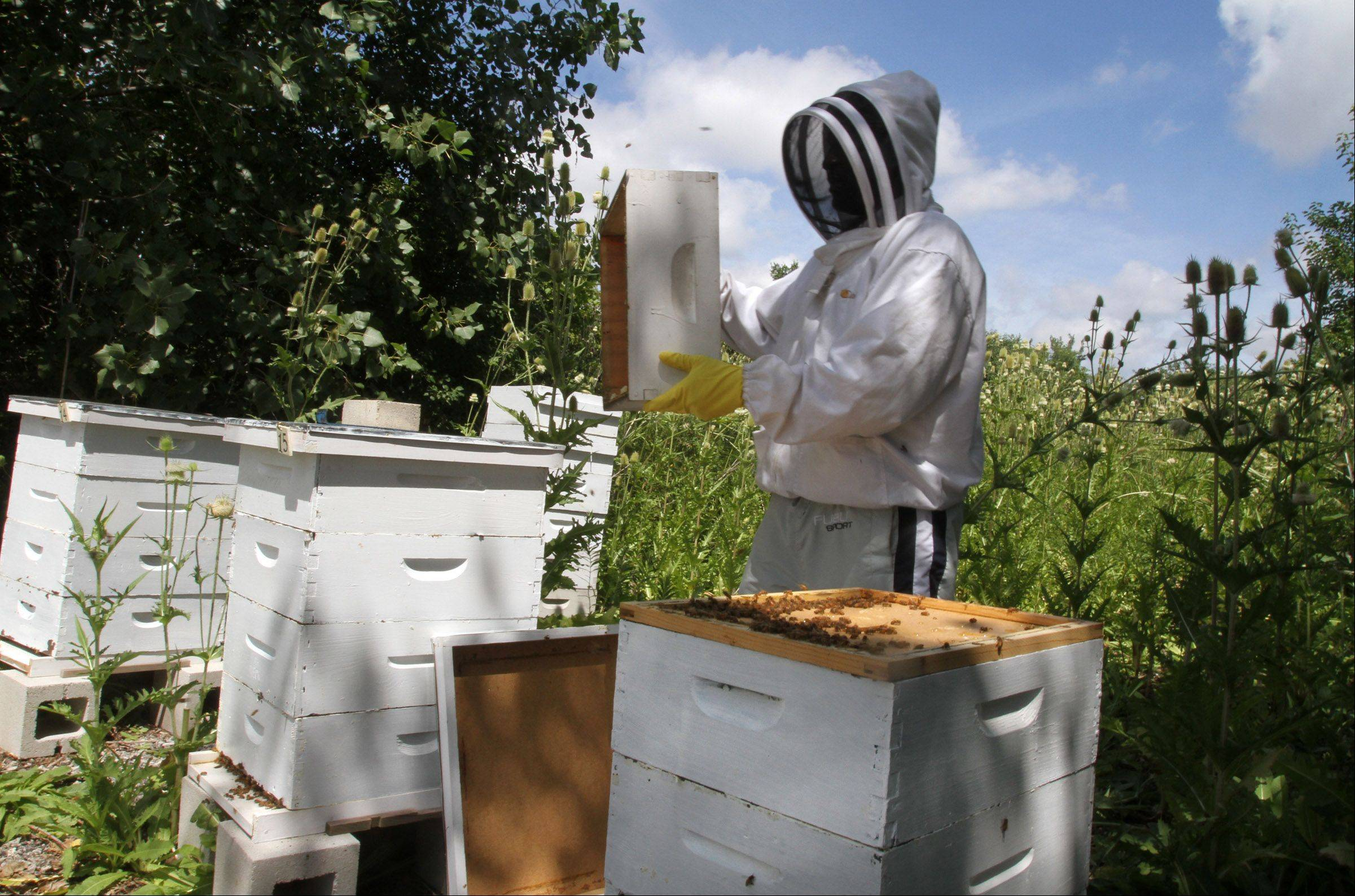 Curtis Camp, Sweet Beginnings team member, works the hives at O'Hare International Airport.
