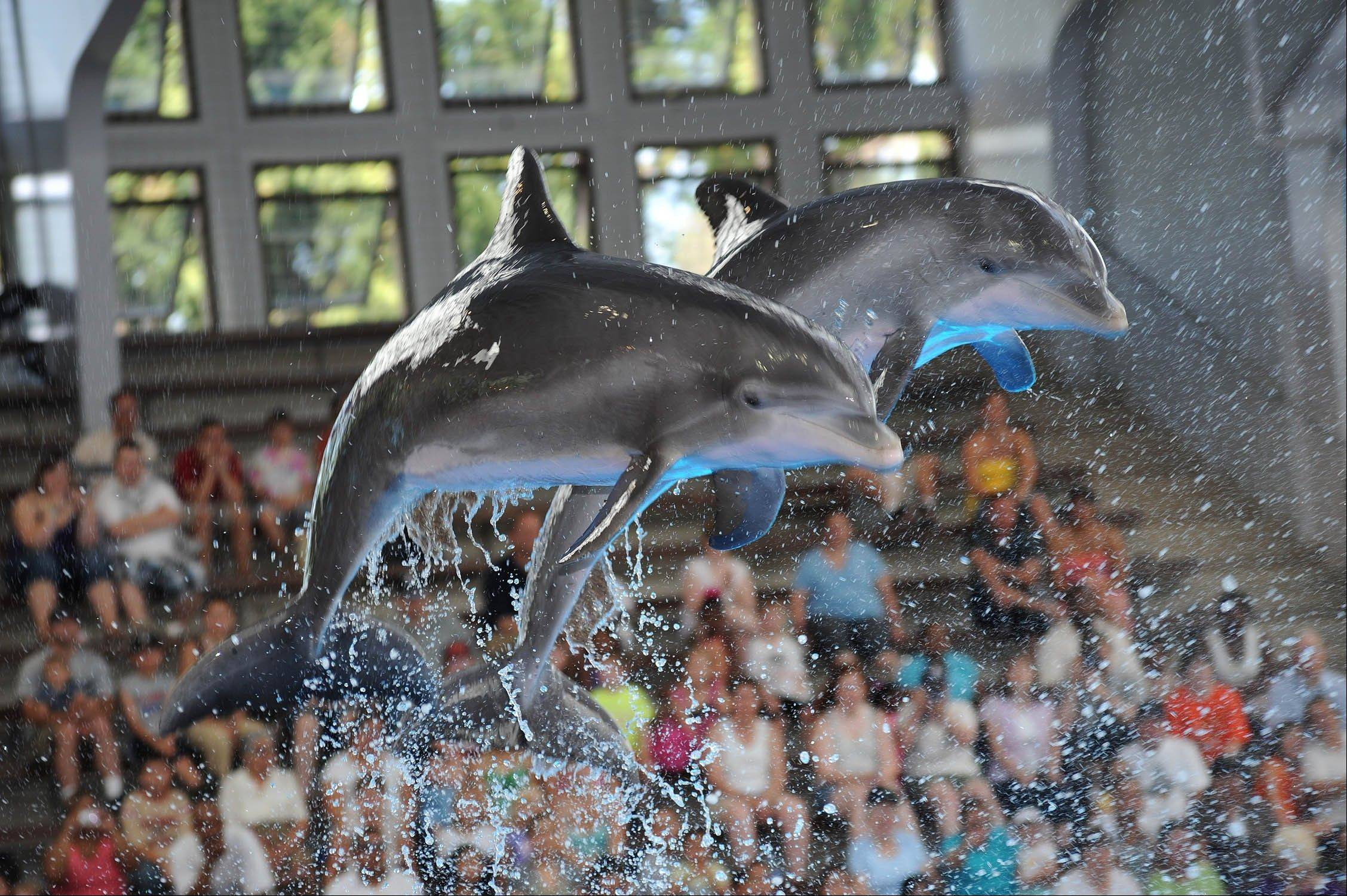 The dolphin show at Brookfield Zoo is always a family favorite.