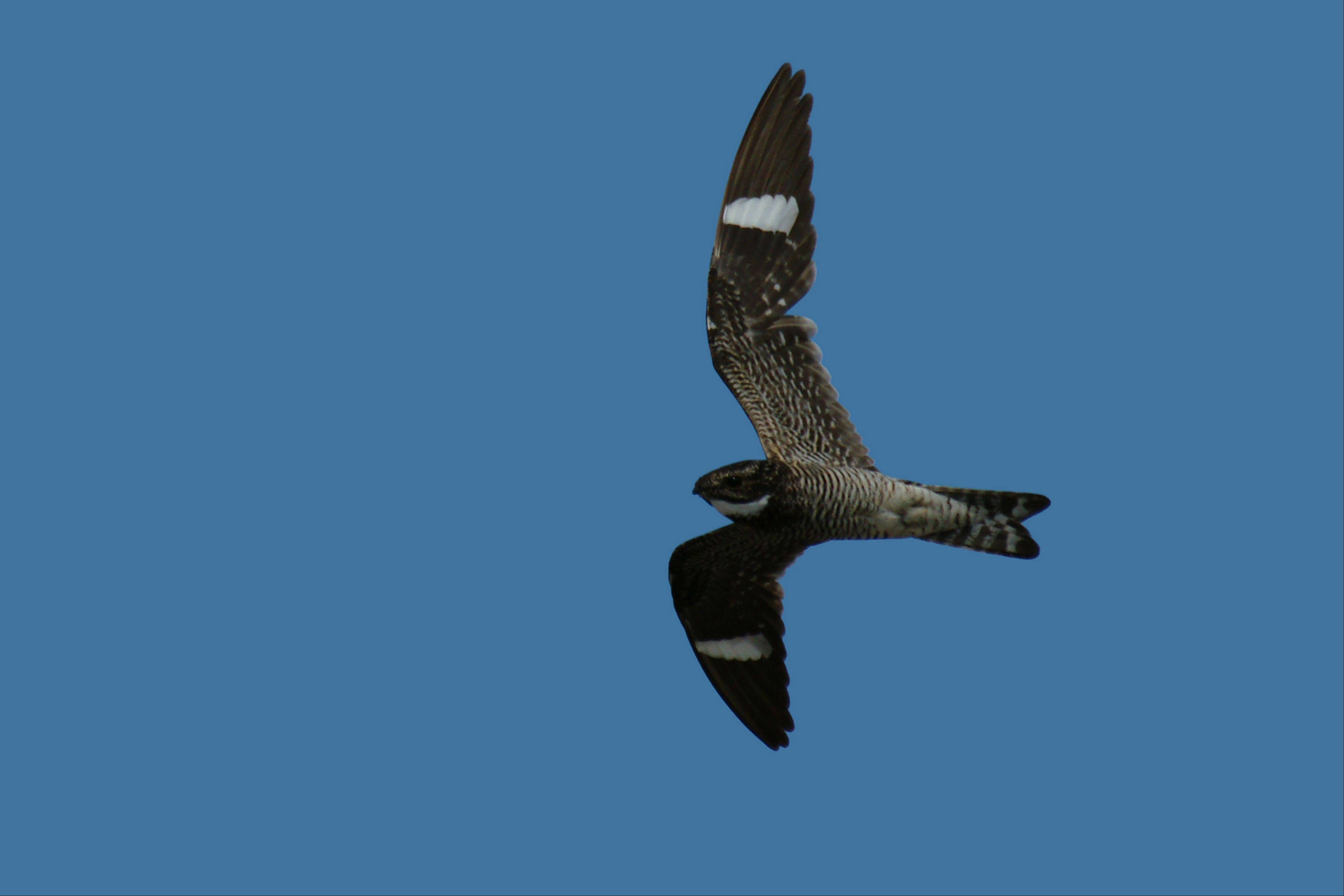 Common nighthawks are masters of disguise when sitting still but easily recognized in flight. Only the male has a white throat.