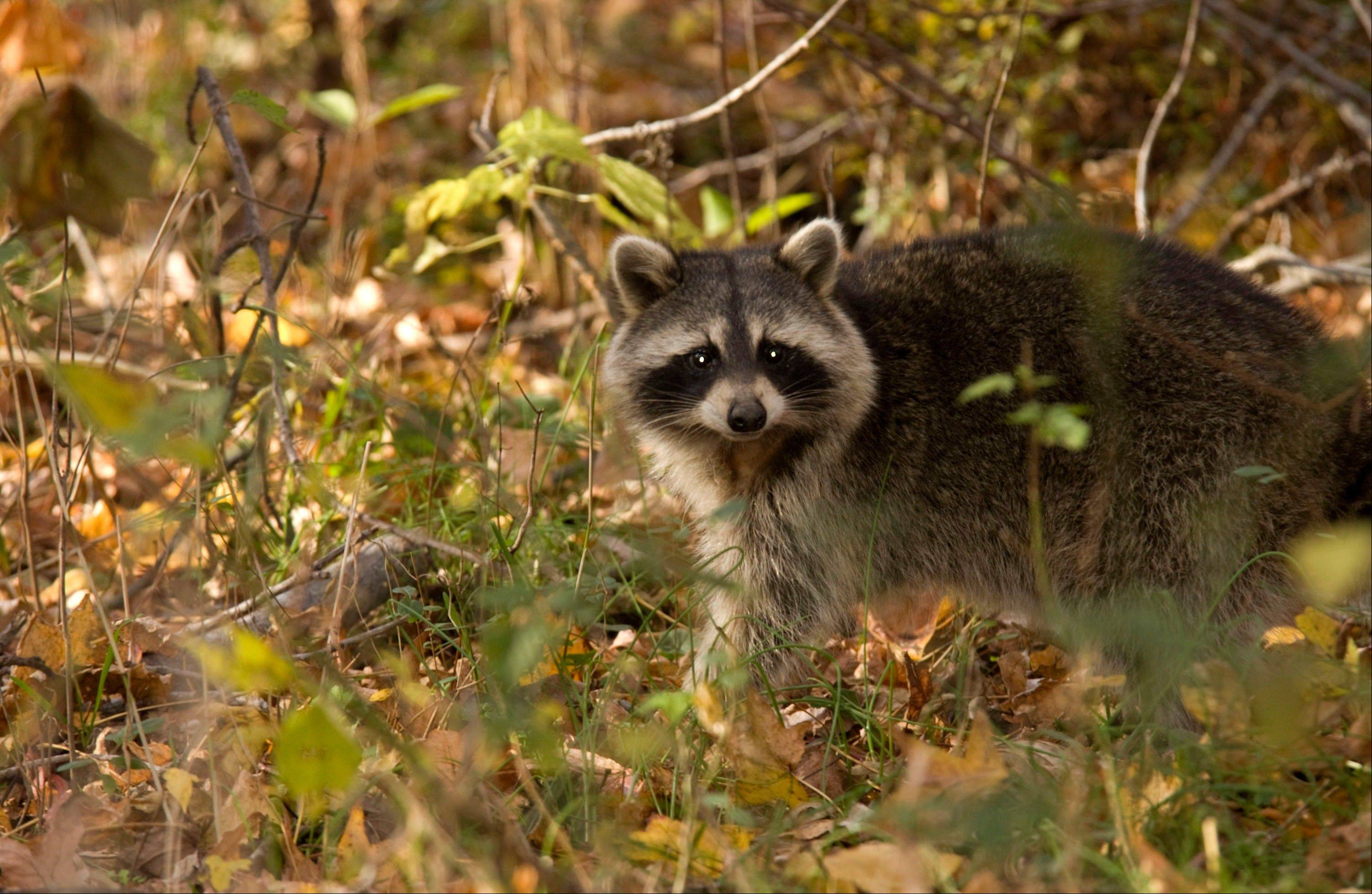 In the United States, most rabies cases before 1960 were in domestic animals, but today more than 90 percent of all animal cases reported annually to the U.S. Centers for Disease Control occur in wildlife, most frequently in raccoons, bats, skunks and foxes.