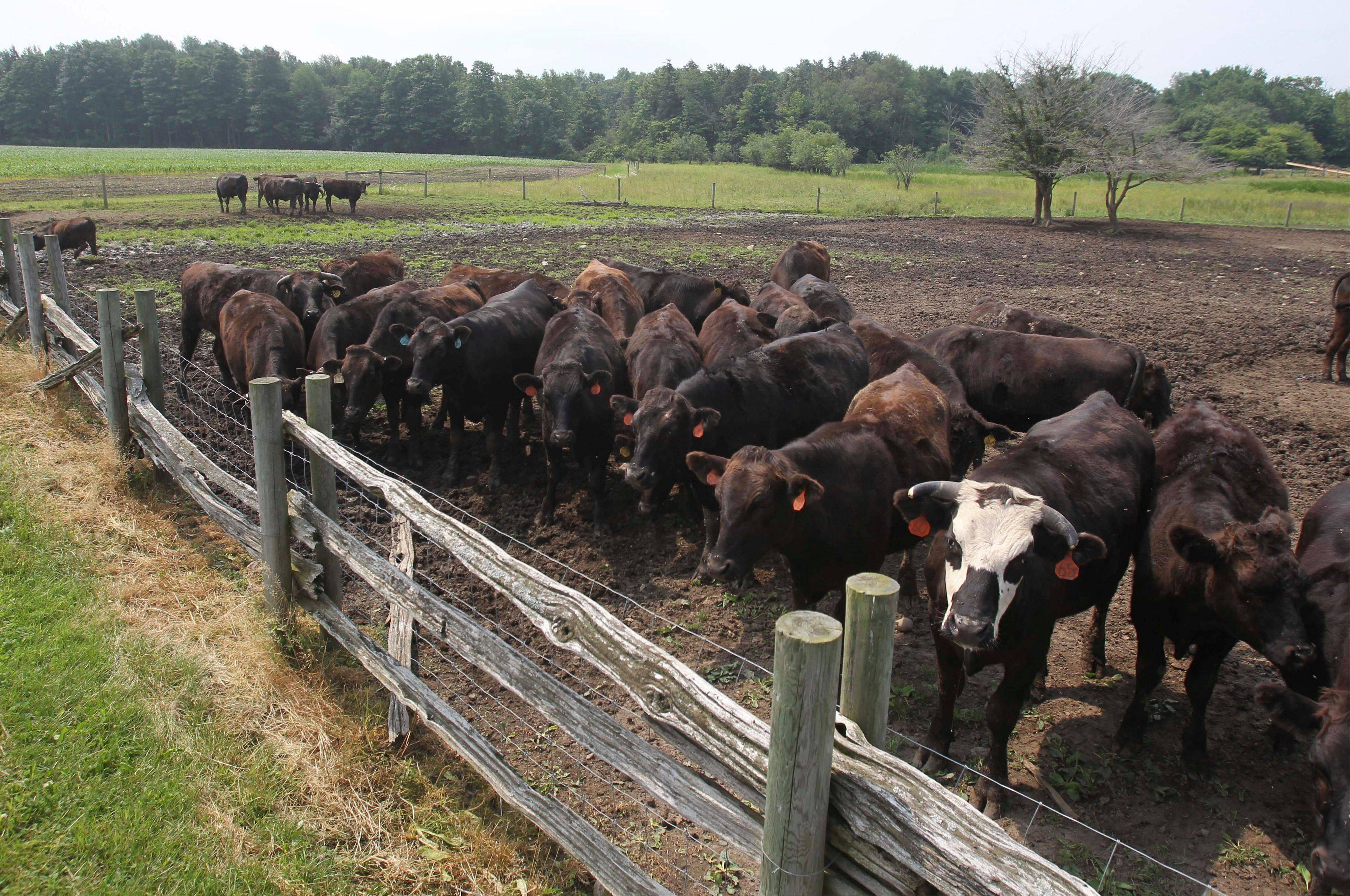 This Tuesday, June 28, 2011 photo shows Wagyu cattle in a pasture at Meadows Farm in Cazenovia, N.Y. Kobe beef from the United States can�t be called Kobe. Because of an import ban, Kobe-style or Wagyu beef is the closest most Americans can come to tasting the legendary meat.