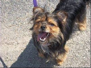 Cherie, a Yorkie mix, one of the dogs rescued by Save-A-Pet Adoption Center during last month�s power outages.