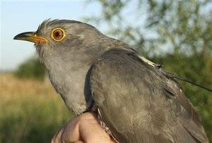 Scientists are clocking the progress of migrating cuckoo like this one.