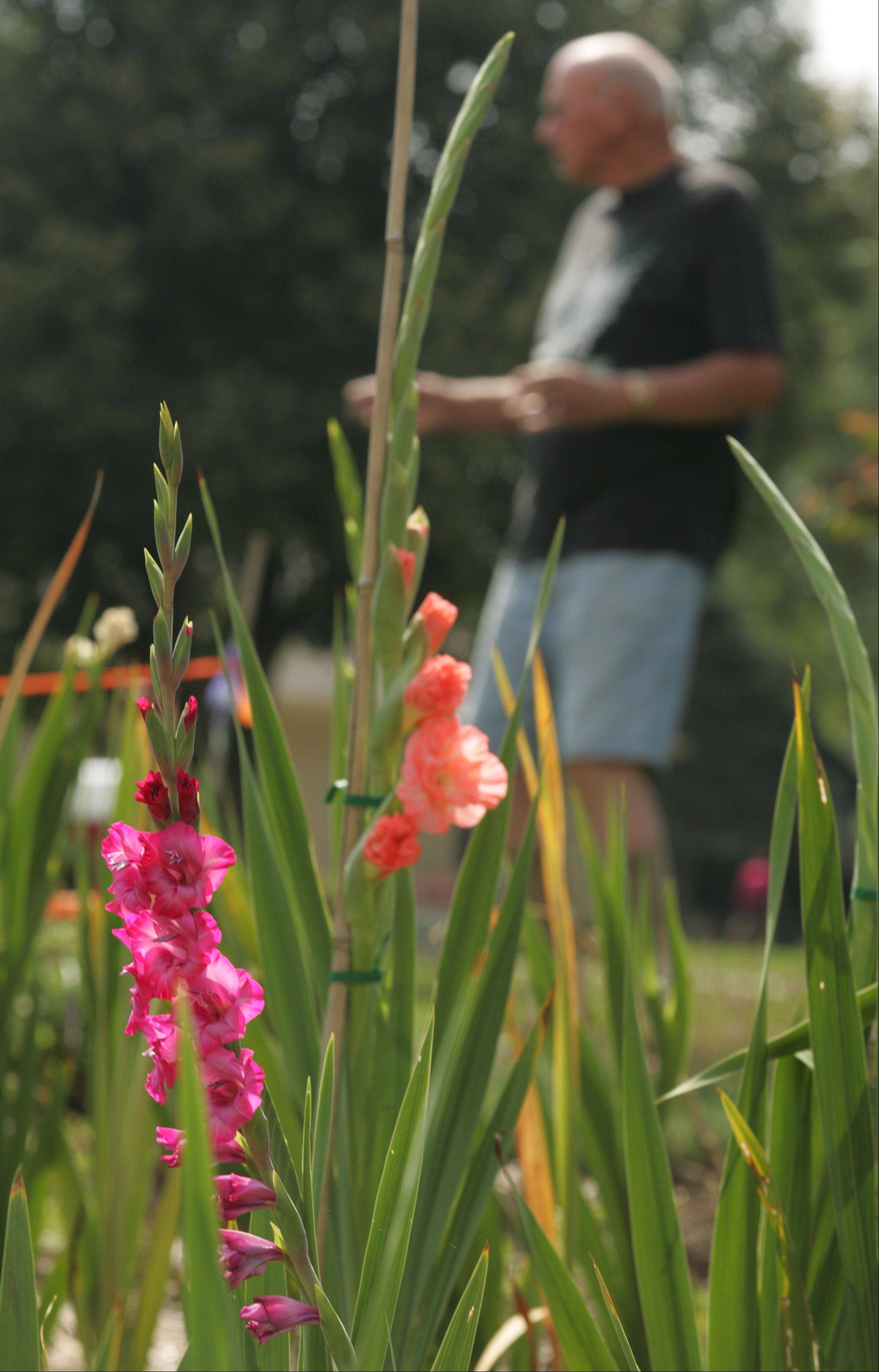 Ed Frederick of Elgin has several large beds where he grows his gladioluses, in addition to some vegetables and herbs.