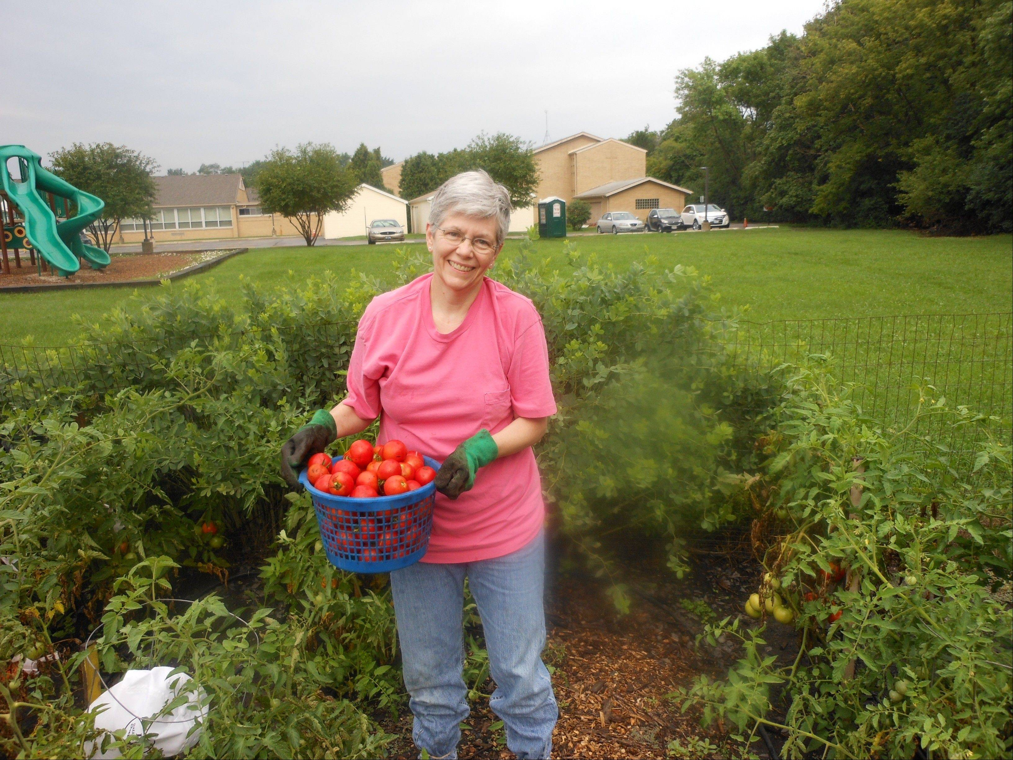 Laraine Bodnar harvests a bushel full of tomatoes at St. Alphonsus Liguori Church in Prospect Heights for the Giving Garden Plant a Row for the Hungry campaign.
