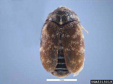 Skin and larvae from a khapra beetle like this one was found Aug. 16 at O�Hare airport in two 10-pound bags of rice being shipped from India.